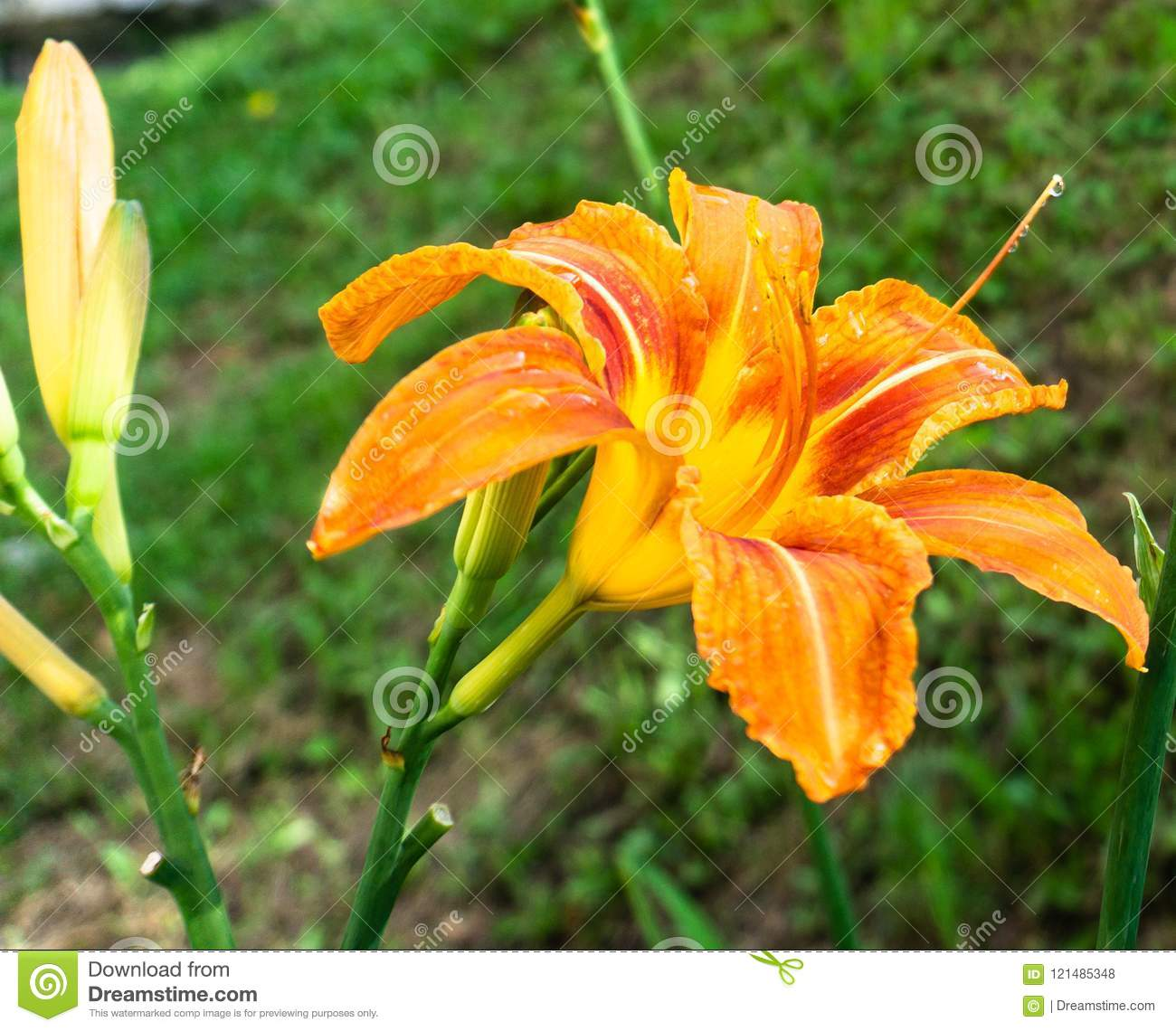 Find Orange Lily Lilium Flower With Drops Of Dew Summer Time In The