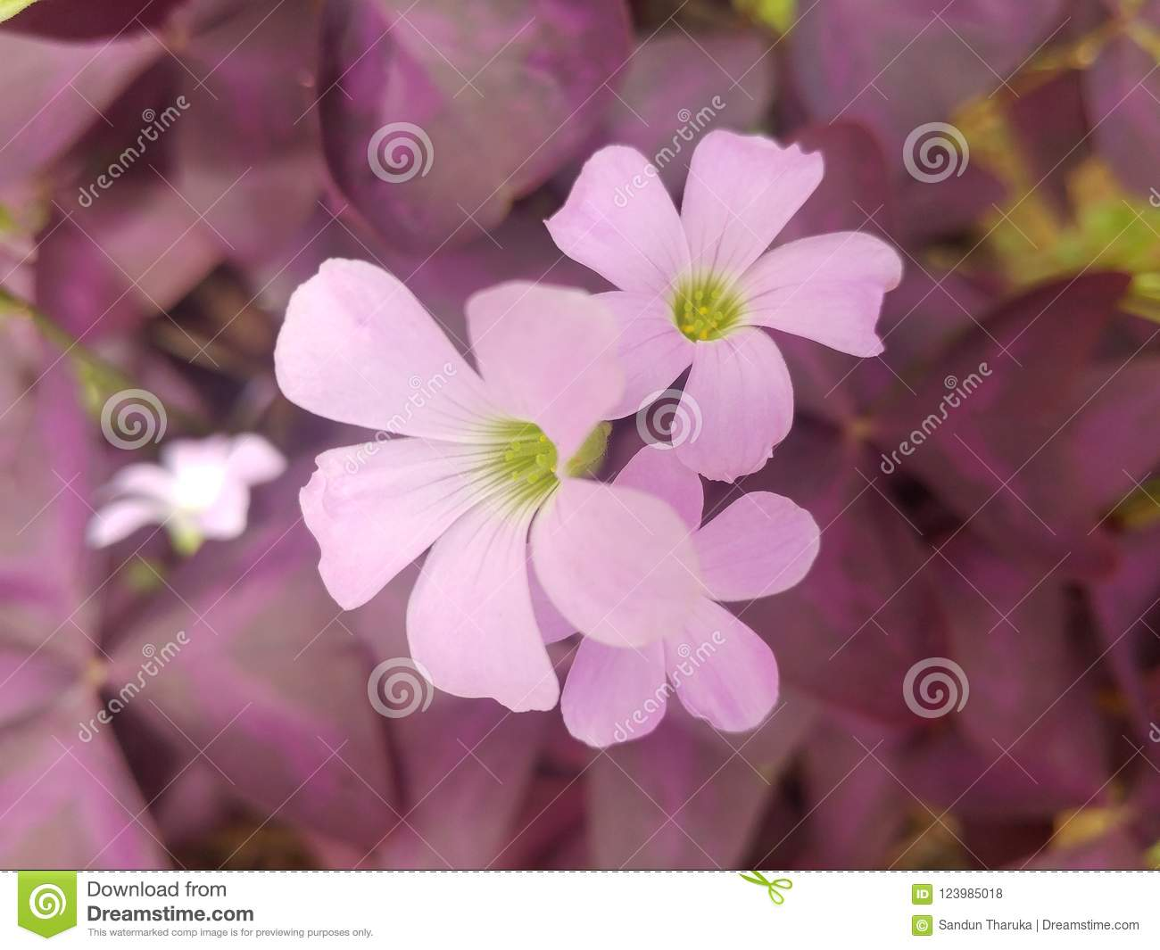Beautiful Flowers In Sri Lanka Stock Photo Image Of Bawa Best
