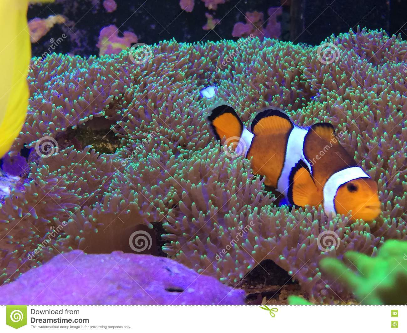 Finding Nemo On A Real Fish Tank Laying Mushroom Coral Stock