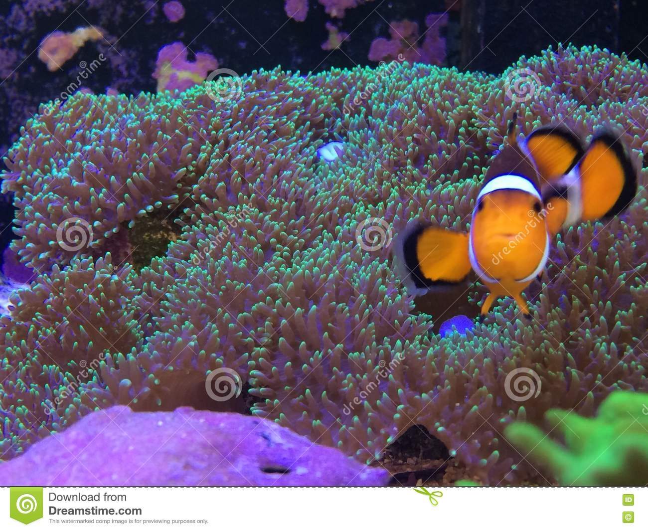 Fish in tank nemo - Finding Nemo On A Real Fish Tank Playing On A Mushroom Coral Stock Photos