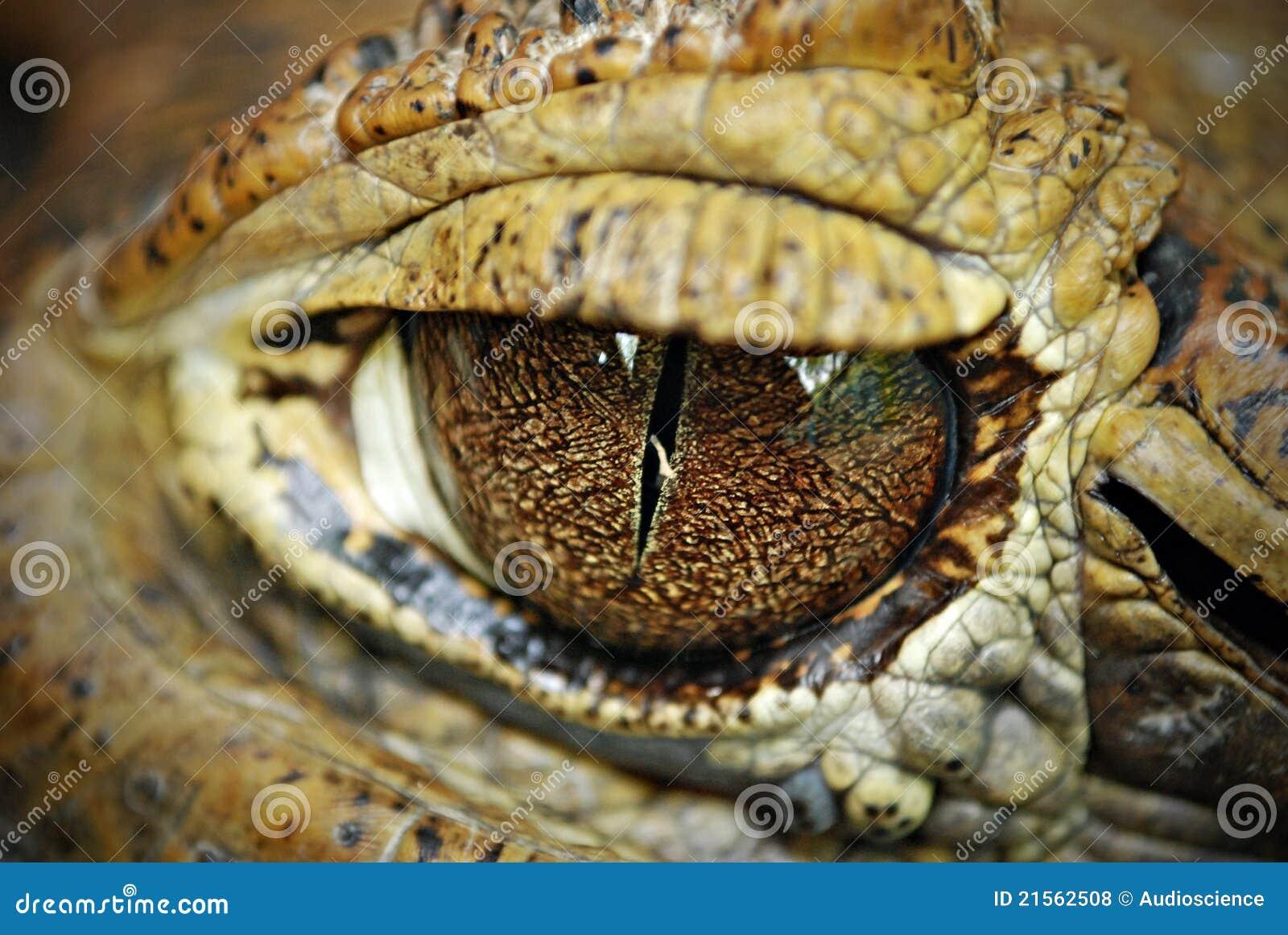 Fine del particolare degli occhi del coccodrillo in su