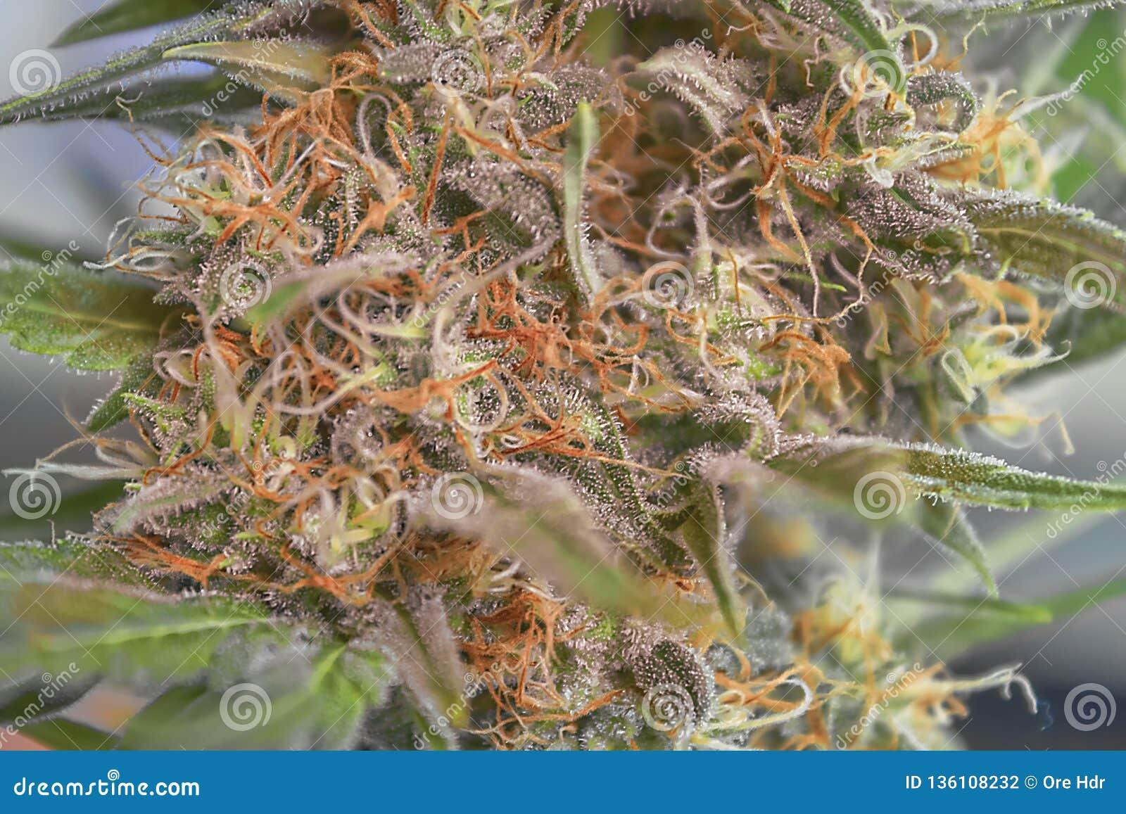 Fine della cola della cannabis su