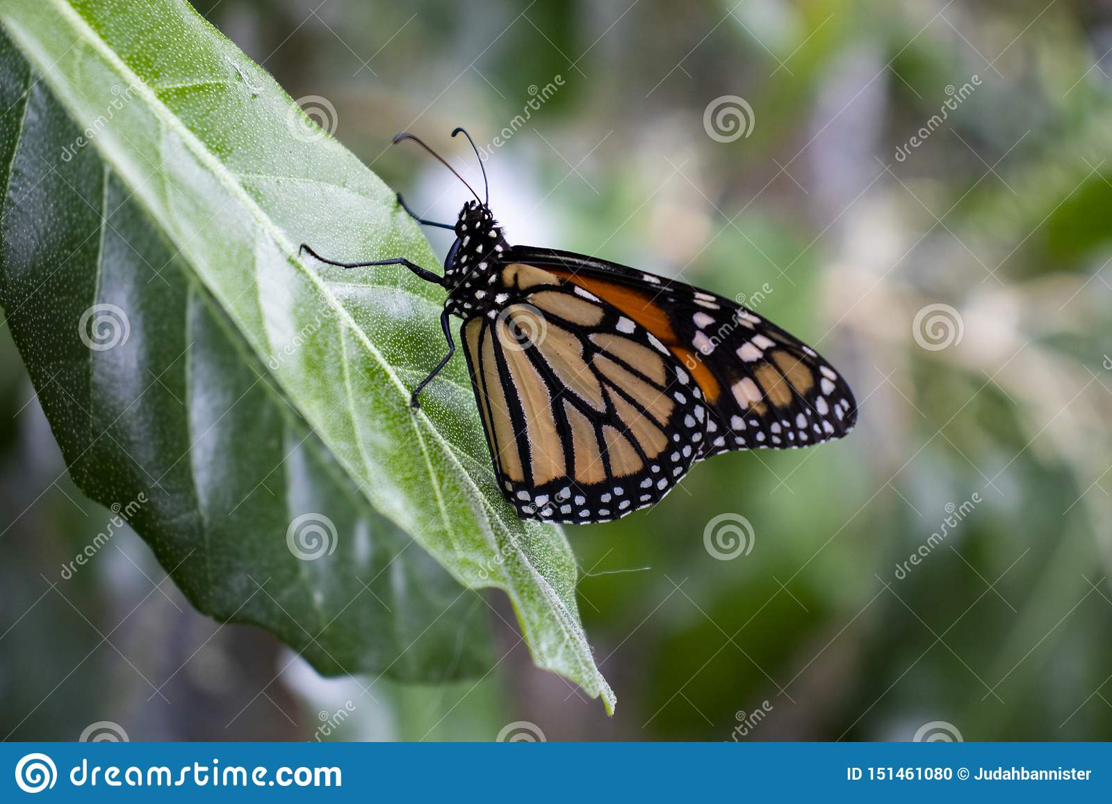 Fine della farfalla di monarca su sparata su una foglia