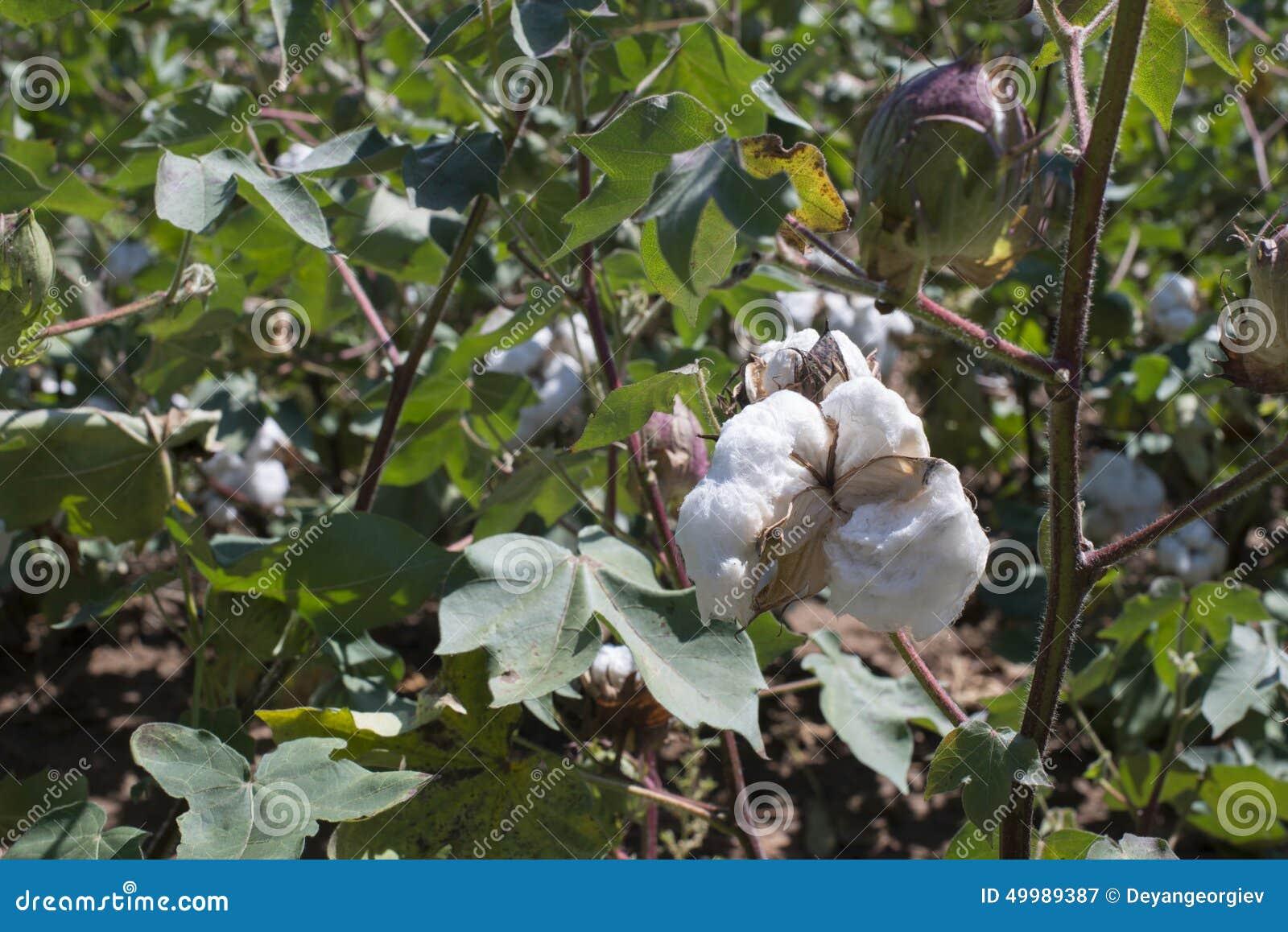 Fine della pianta di cotone su immagine stock immagine for Pianta della foresta di pioppo