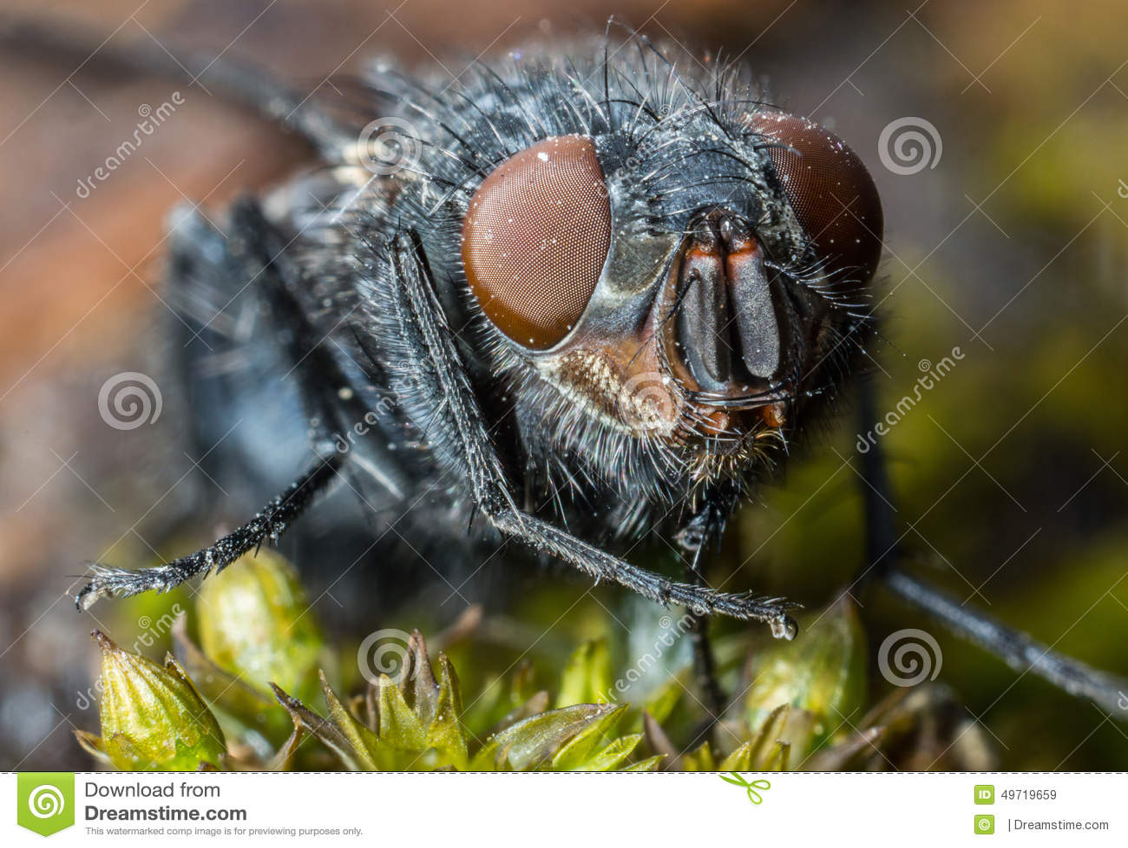 Fine di estremo della mosca della Camera sulla macro