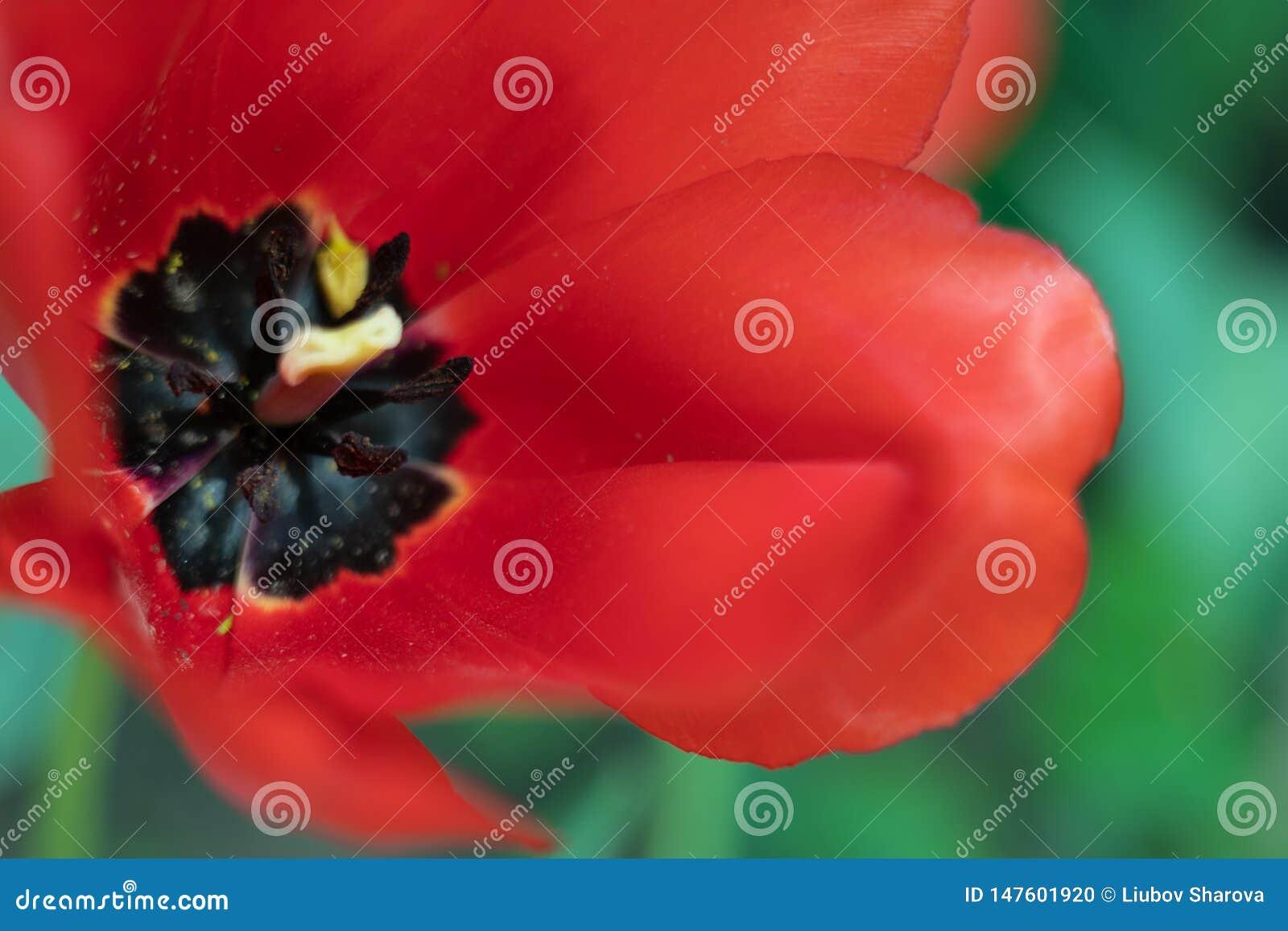 Fine di macro del tulipano sul colpo