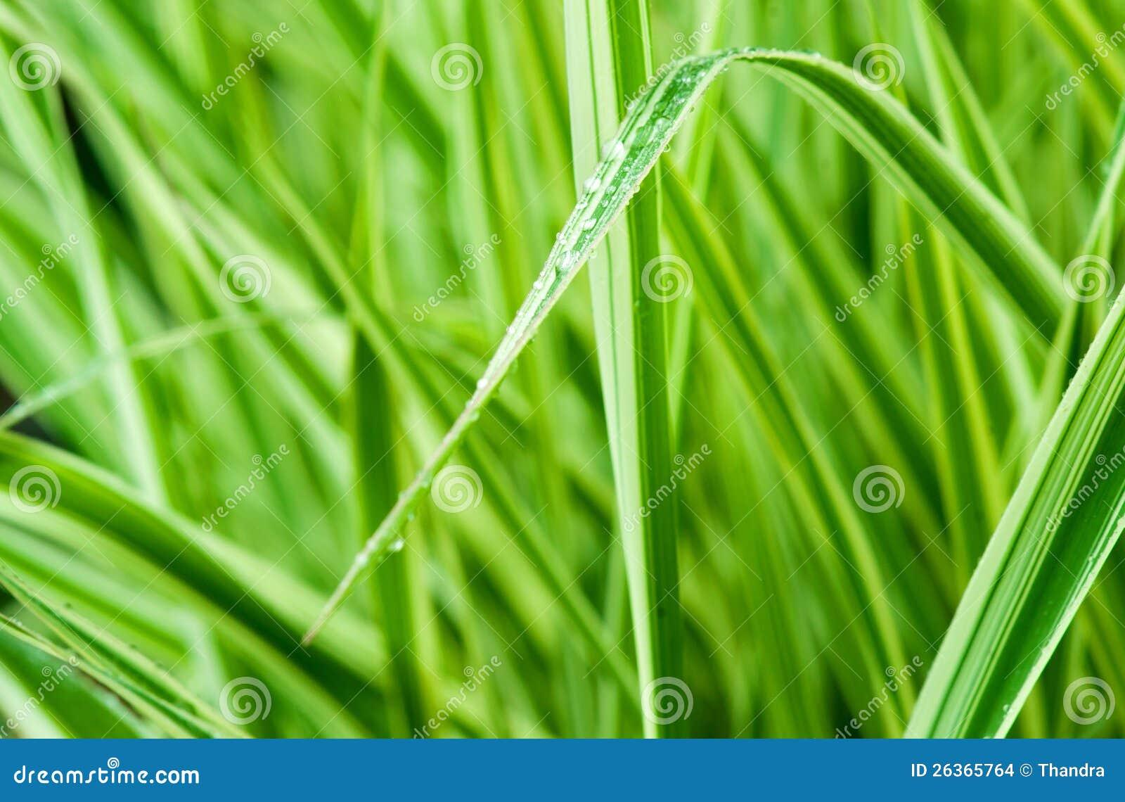 Fine di macro dell erba verde in su