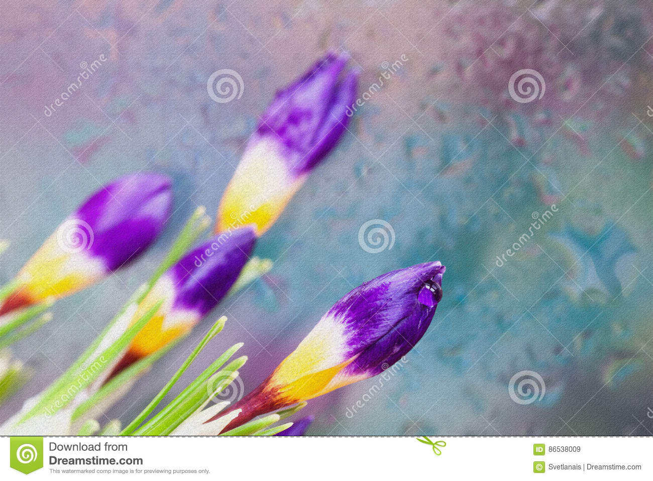 Fine fresh Crocus behind glass with rain drops. Bouquet for loved ones all occasions. Flower nature bright background
