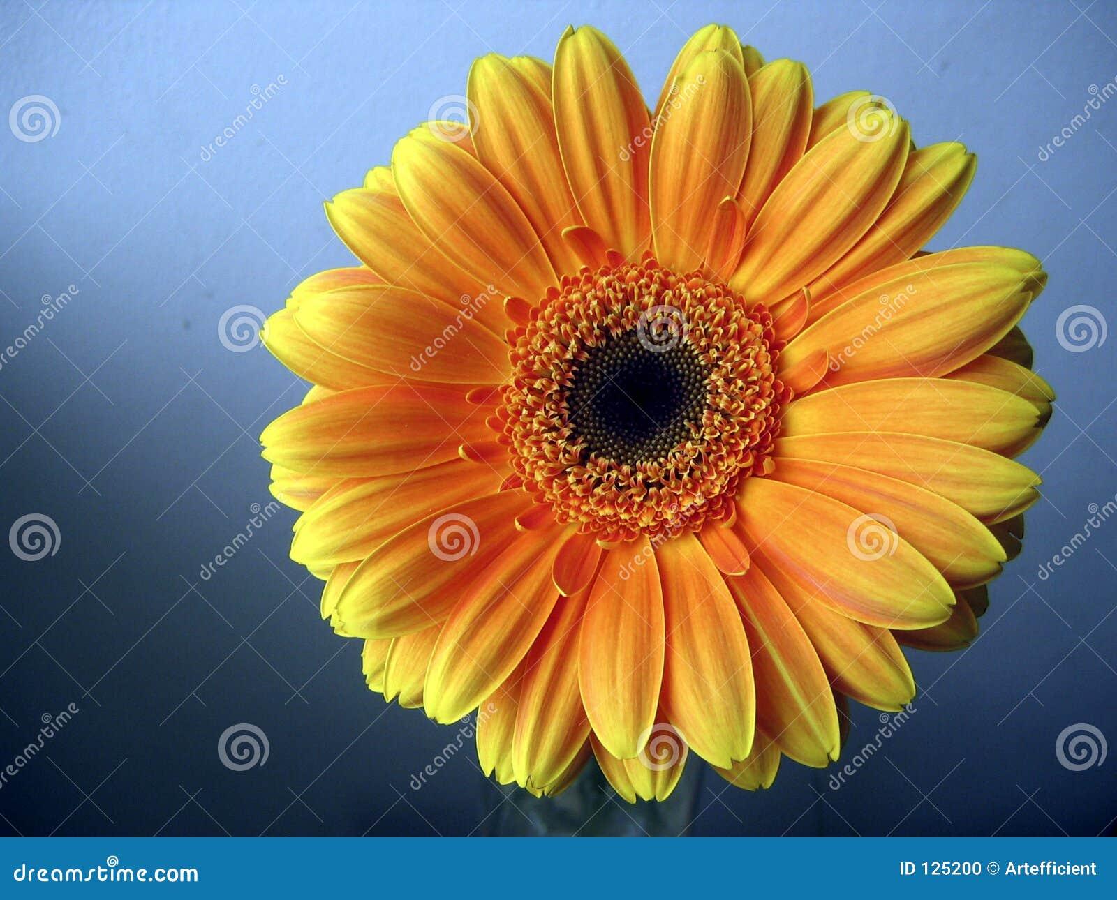 Fine giallo arancione del fiore del Gerbera in su su priorità bassa blu