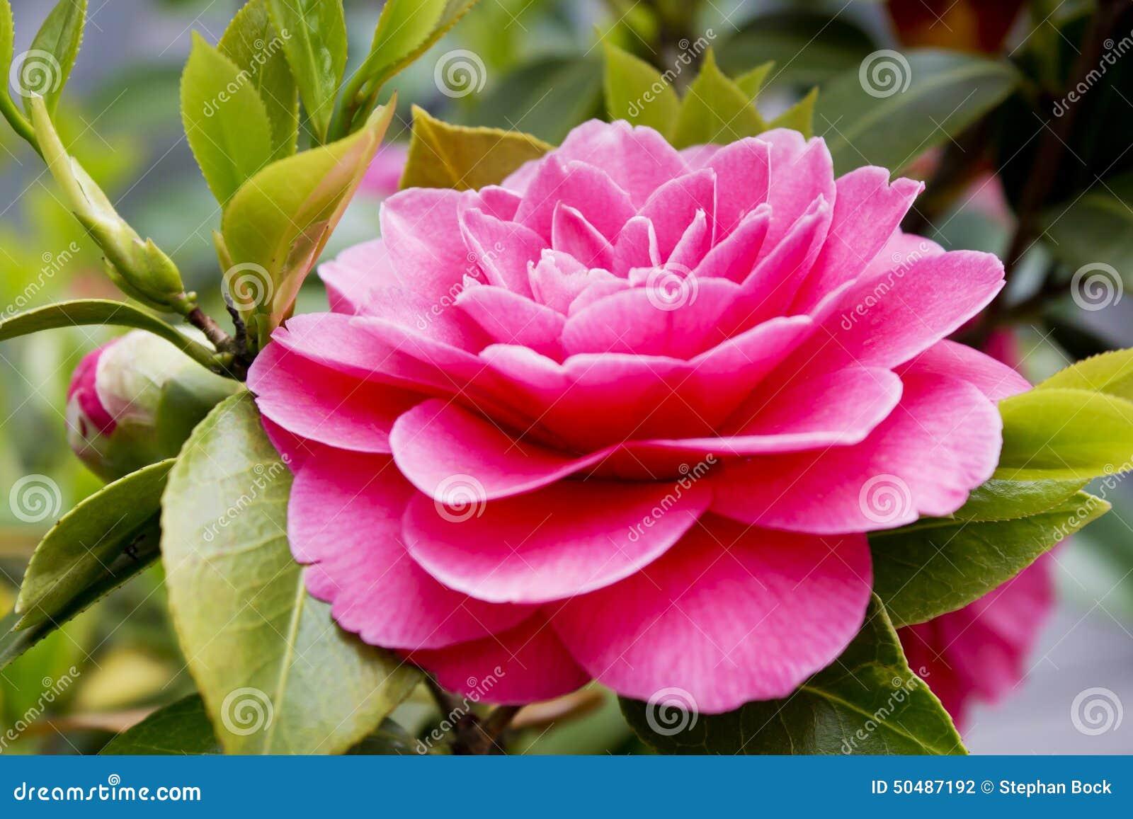 Fine giapponese rosa del fiore della camelia su fotografia stock immagine di nave rose 50487192 - Camelia pianta da esterno ...