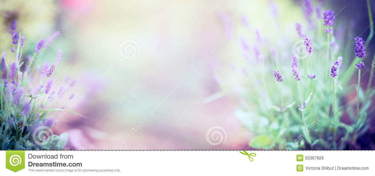 Fine lavender flowers plant and blooming on blurred nature background, panorama