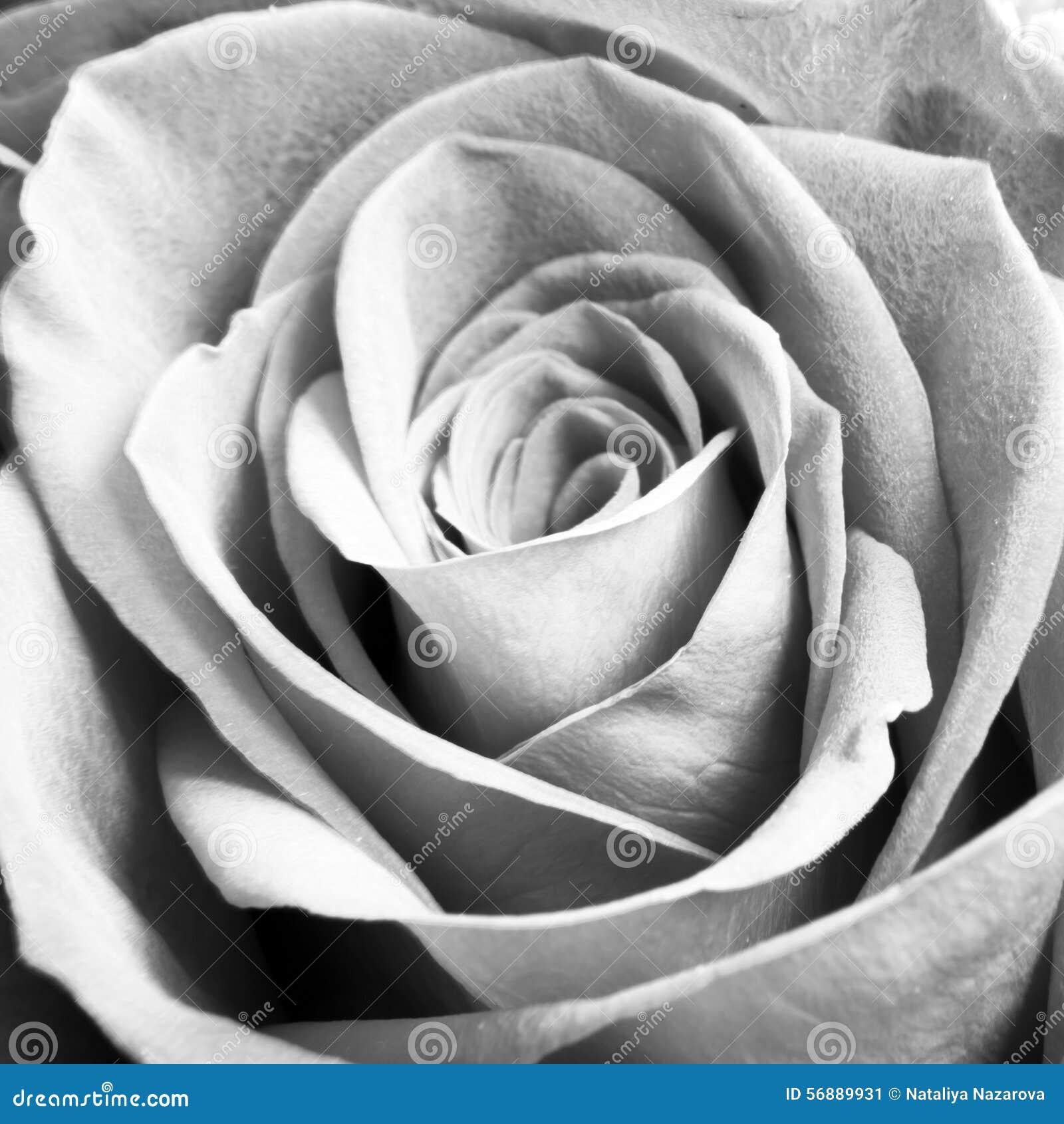 Fine monocromatica di macro sul colpo del capolino di Rosa