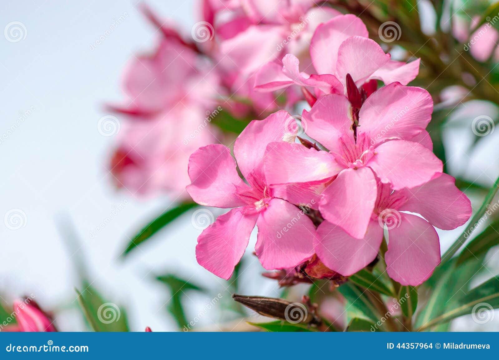 Fine rosa del fiore dell oleandro su