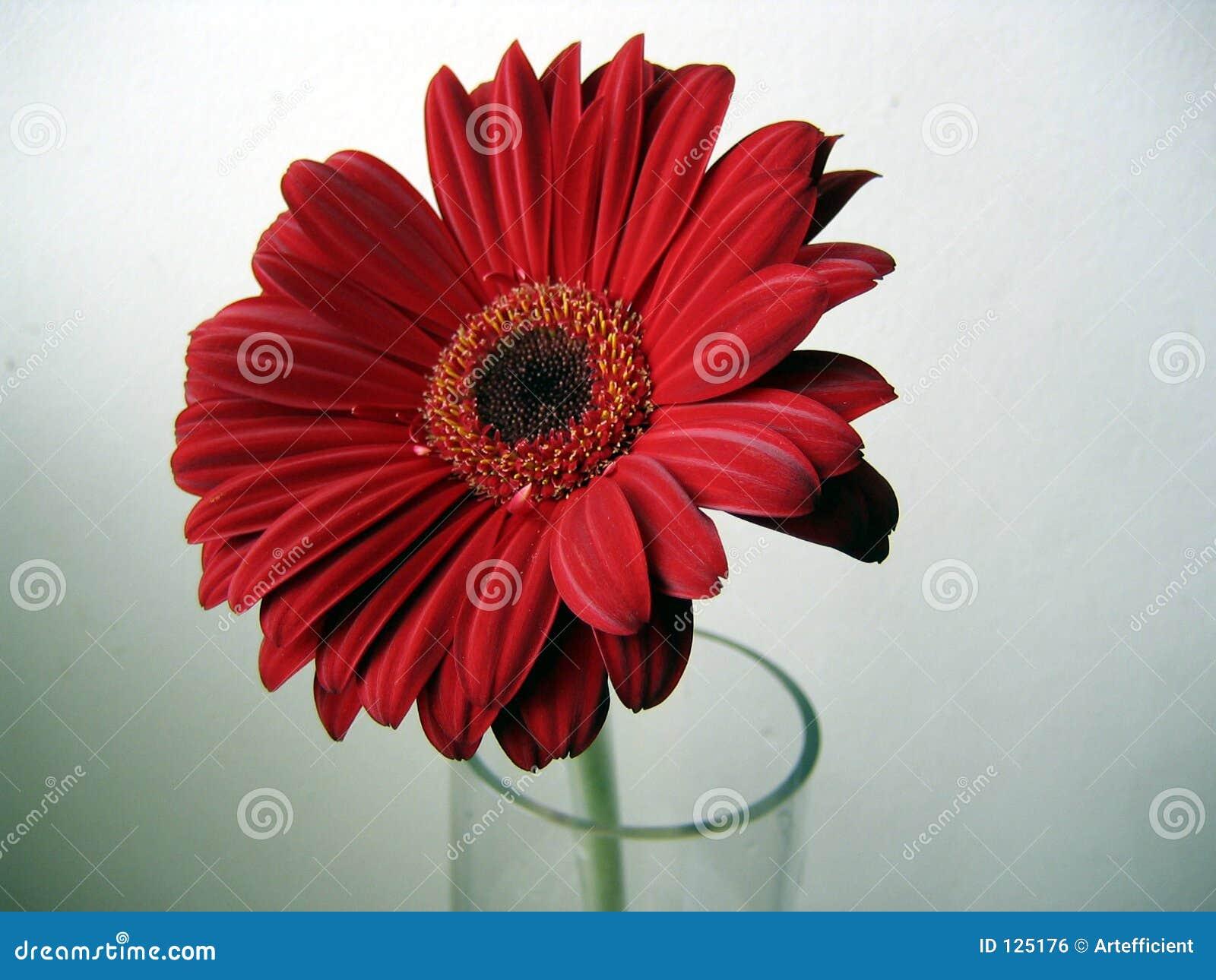 Fine rosso-cupo del fiore del Gerbera in su su priorità bassa verde