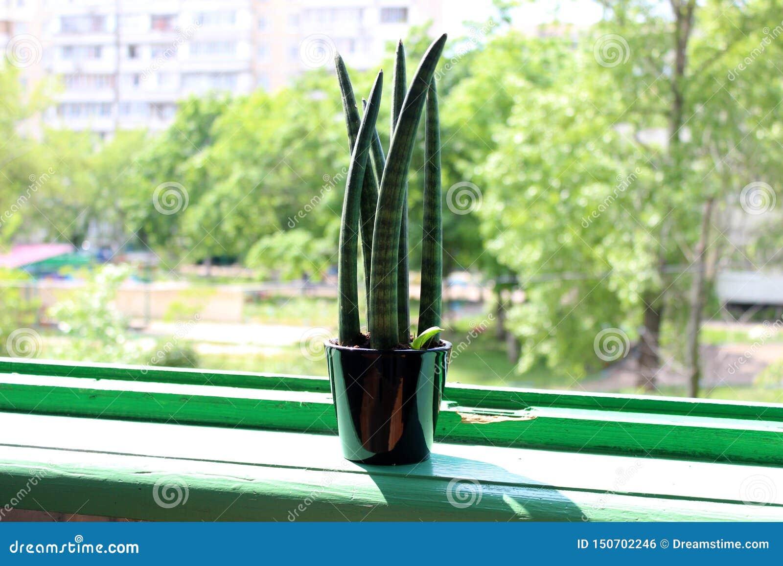 Fine succulente su in un vaso nero su un davanzale verde della finestra