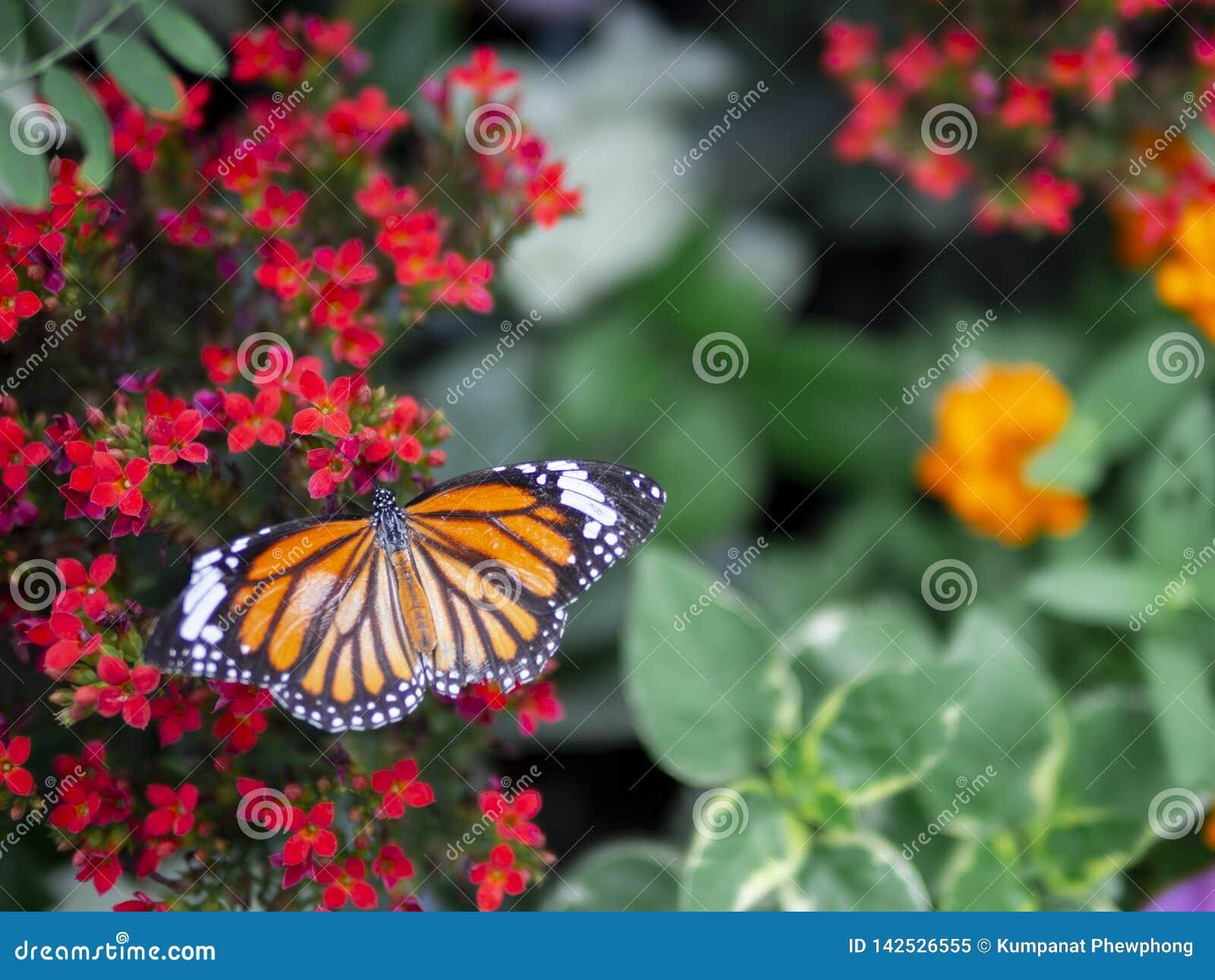 Fine sul genutia comune di Tiger Danaus della bella farfalla arancio sul fiore rosso con il fondo verde del giardino