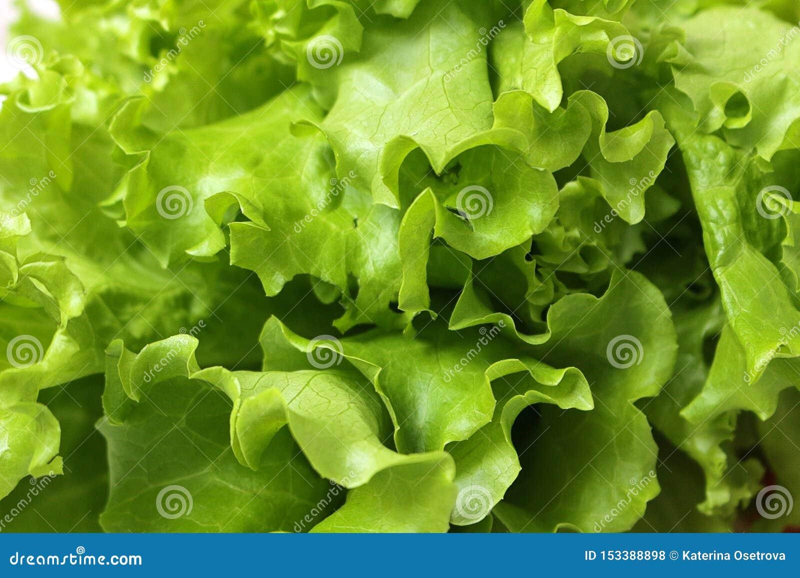 Fine sulle foglie fresche della lattuga sviluppate in giardino domestico