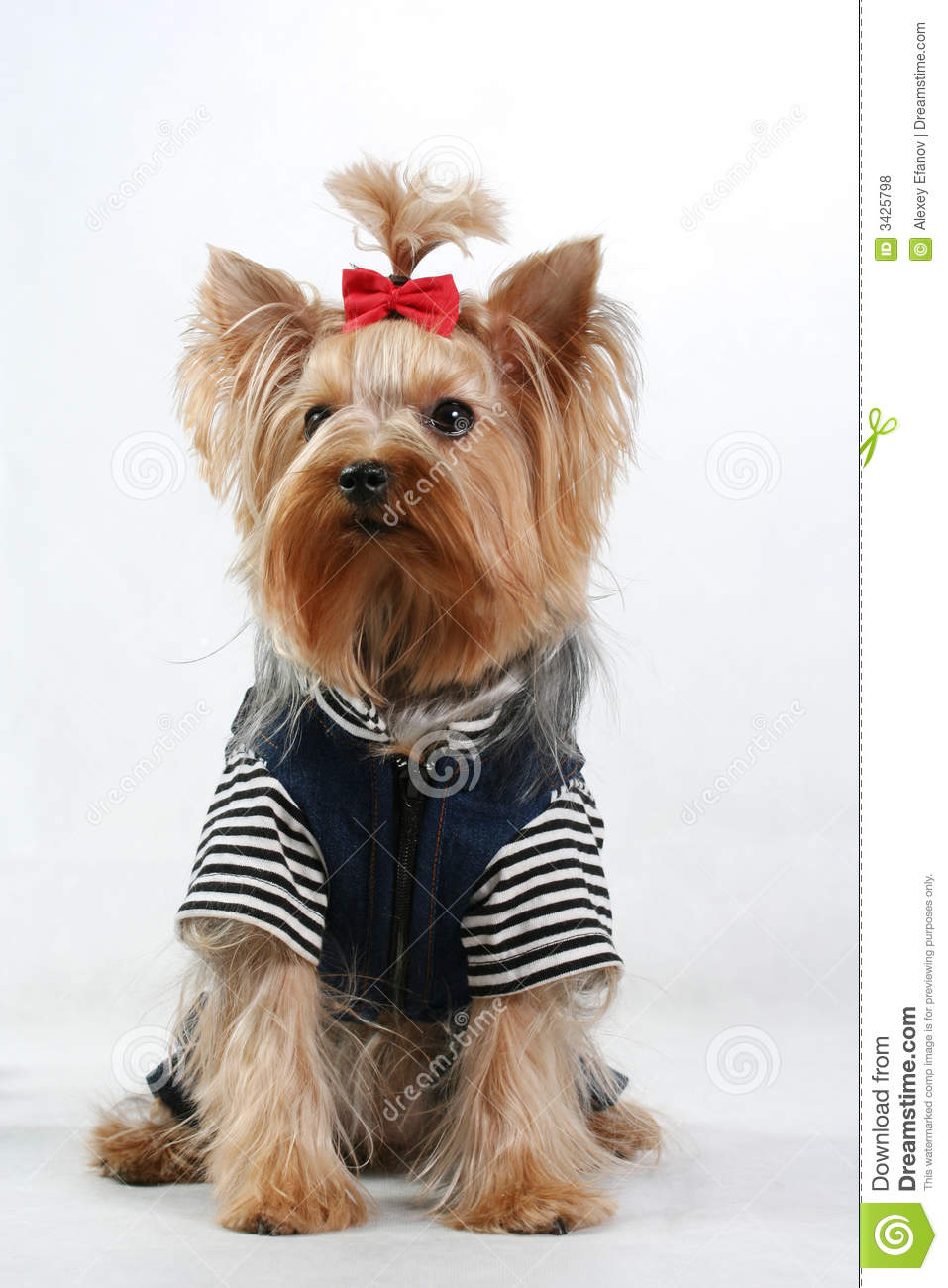 Fine Yorkshire Terrier Royalty Free Stock Photos Image