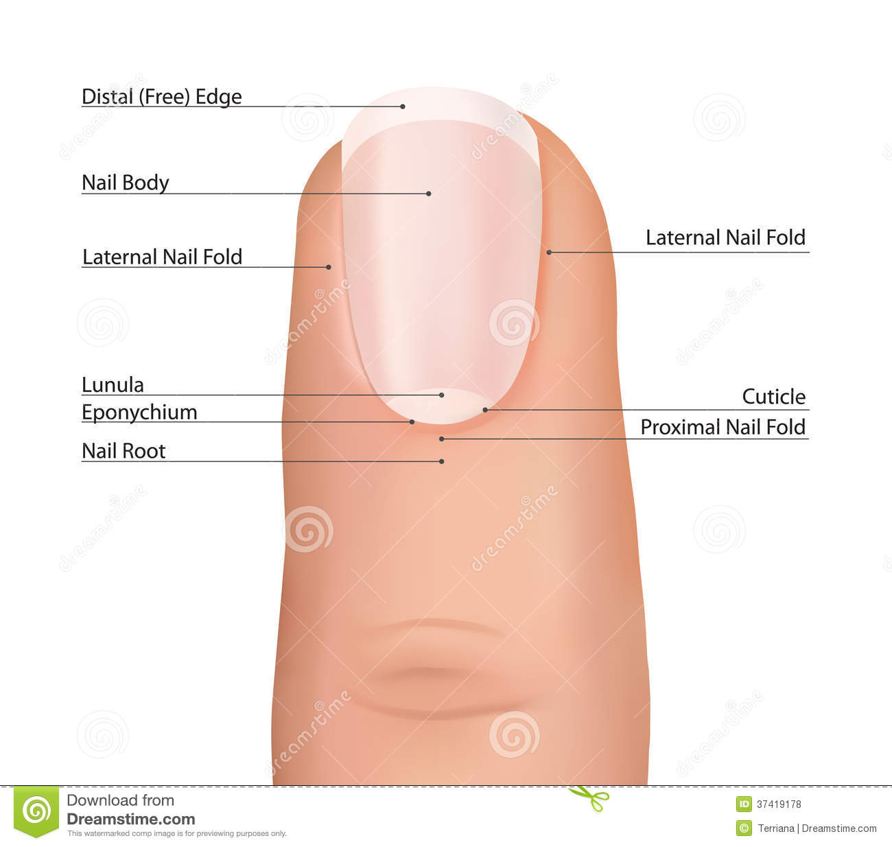 Finger detailed nail anatomy on a white background fingernail royalty free stock photo pooptronica Gallery