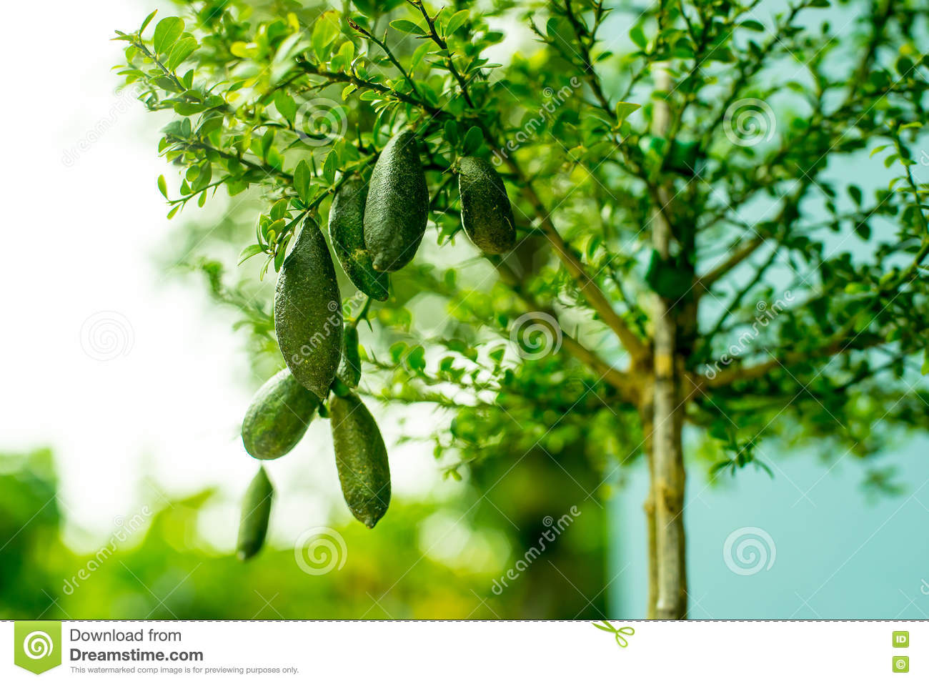 Finger lime on tree with bokeh