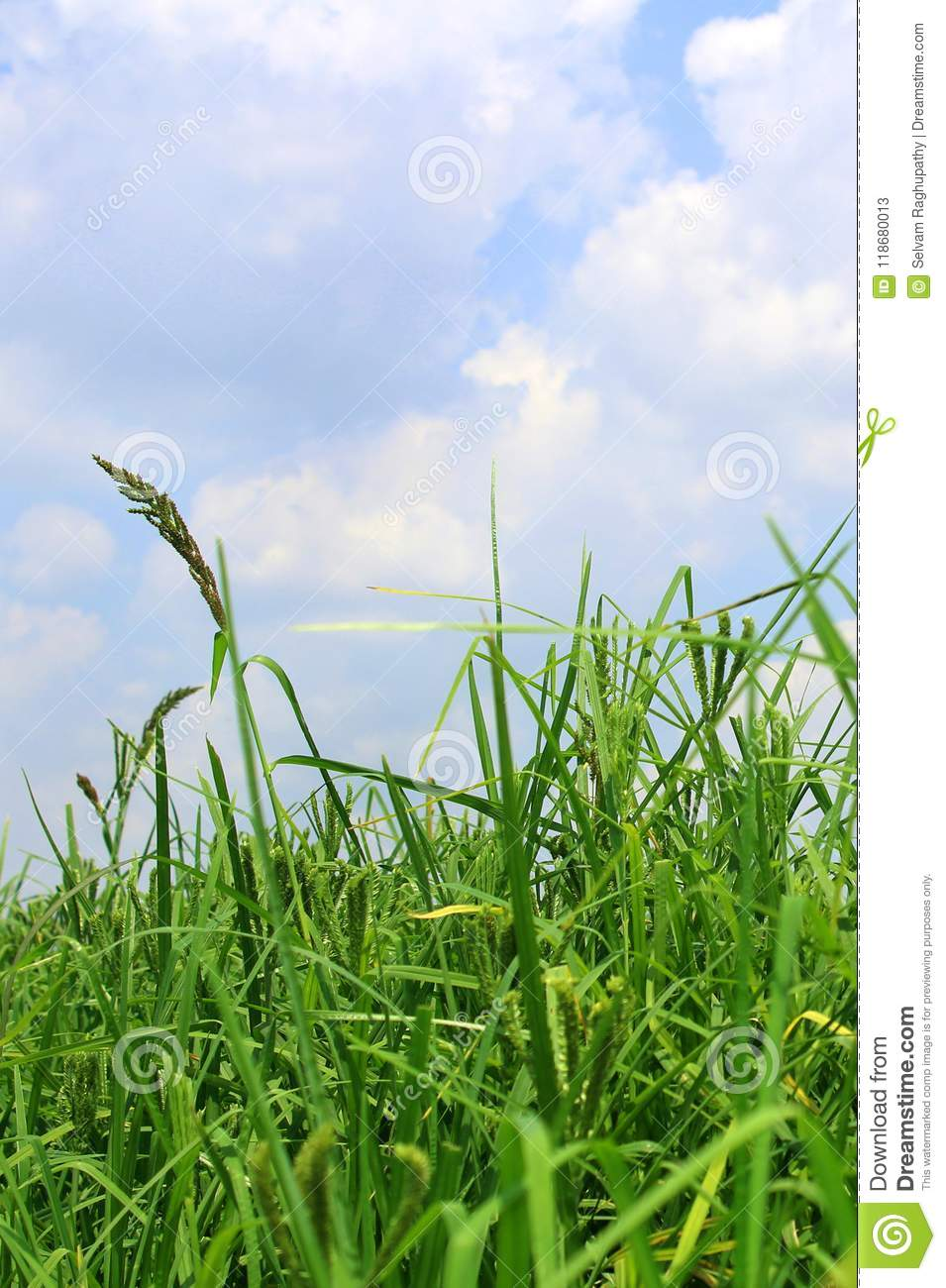 Finger Millet Plant Farm Green Field With Sky. Stock Image