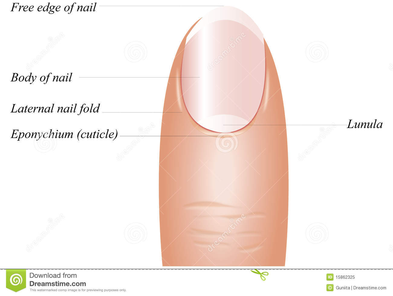 Finger nail anatomy stock vector. Illustration of background - 15862325