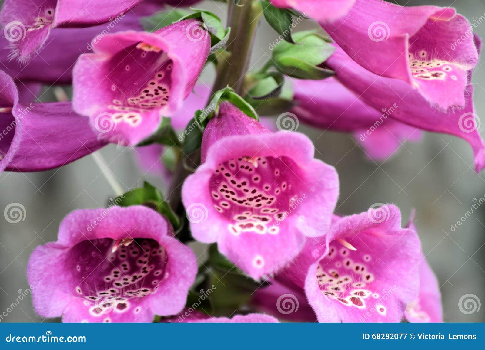 Fingerhut-Blumen-Stiel oder Fingerhut
