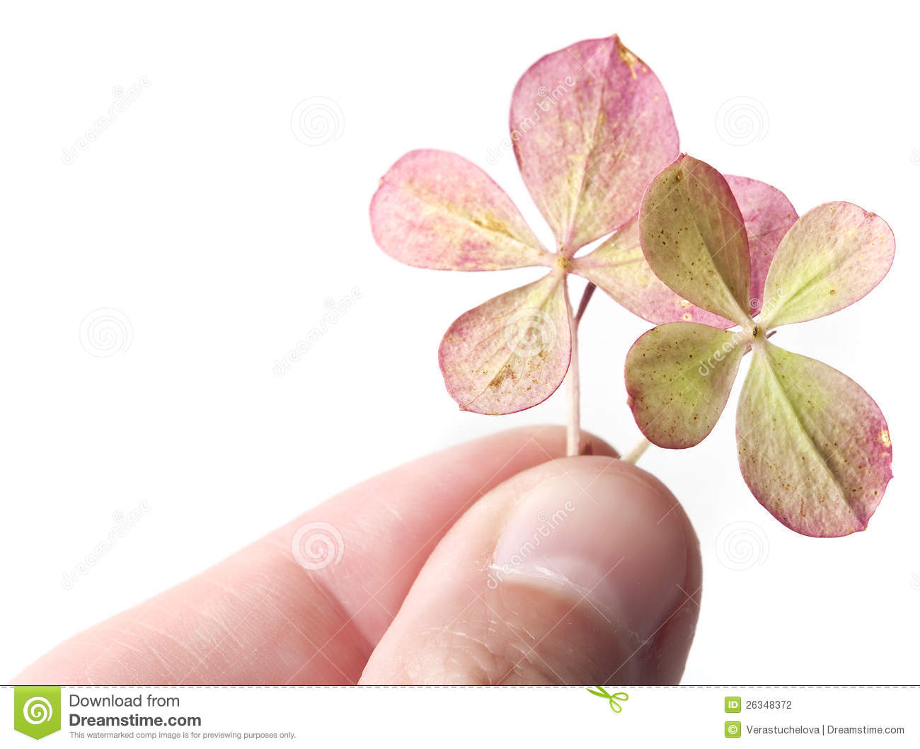 Fingers With Pink Four Leaf Clover Stock Photo Image Of Clipping