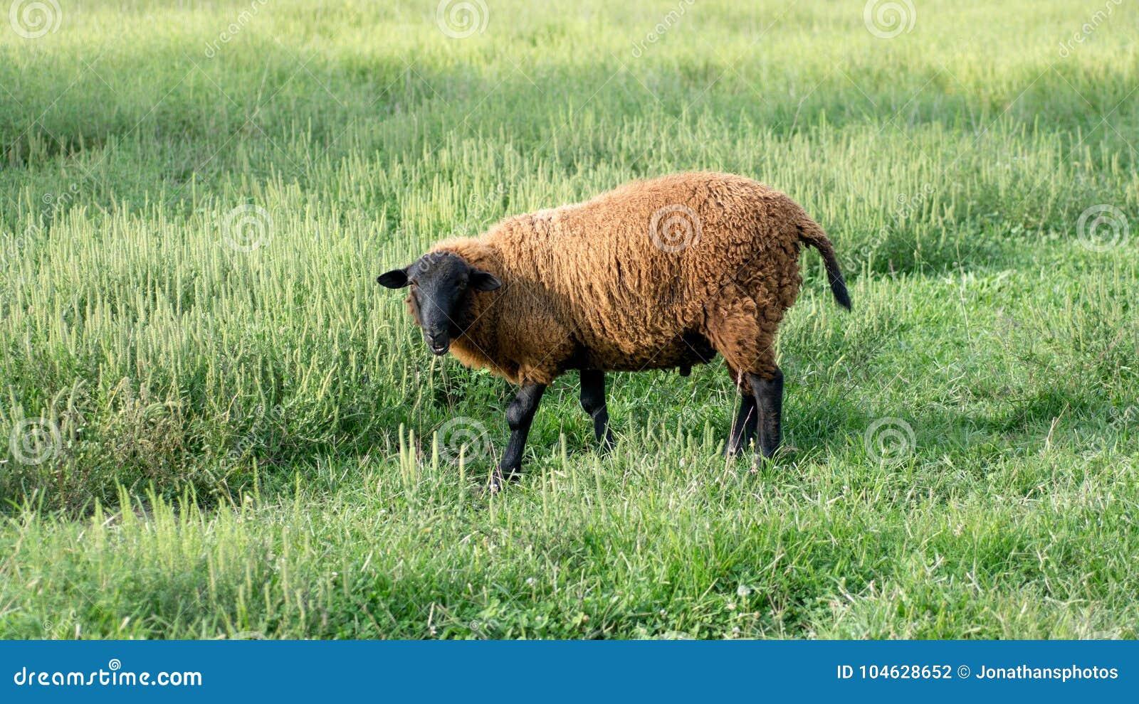Download Finn Sheep Standing Op Grasrijk Gebied Stock Foto - Afbeelding bestaande uit camera, groen: 104628652