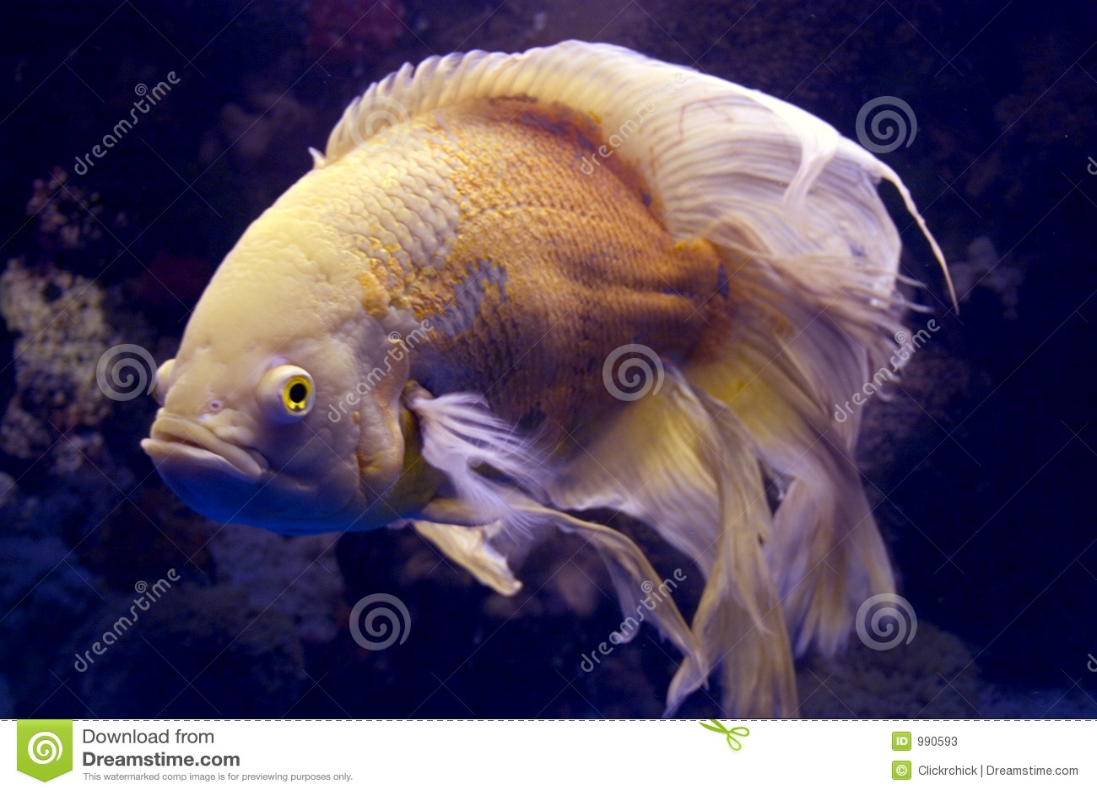 Finned fisk långa oscar för albino