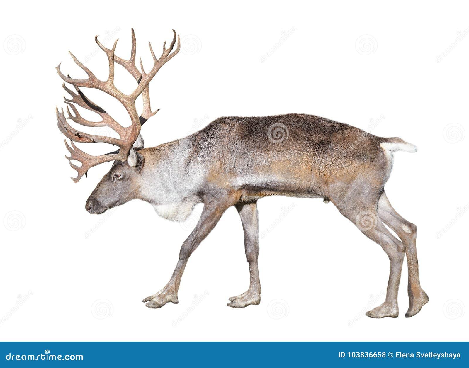 Fins bosdierendier op witte achtergrond wordt geïsoleerd