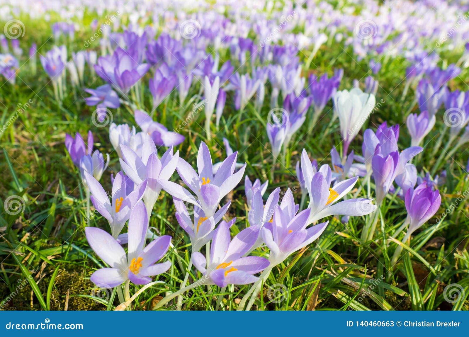 Fiołek Kwitnie przy florą w Kolonia, Niemcy, jest pierwszy kwitnie roślinami w wiośnie