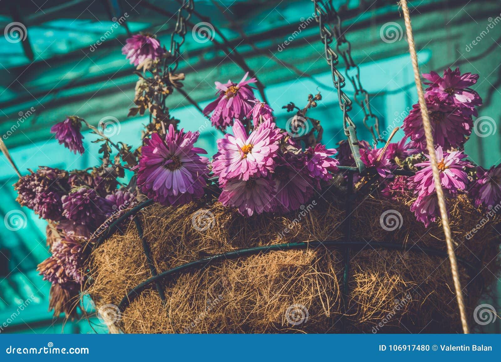 Fiołek kwitnie w słomianej wazie