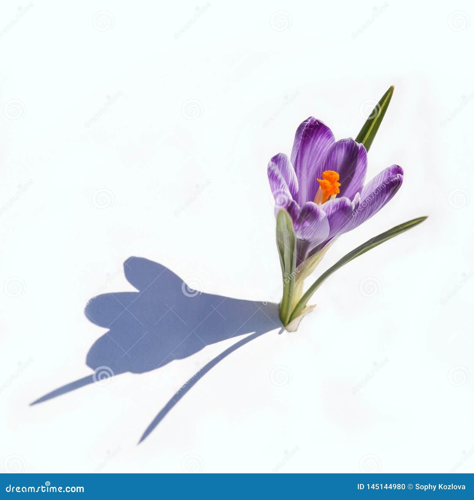 Fiołkowa śnieżyczki wiosna kwitnie zbliżenie widok odizolowywającego na bielu