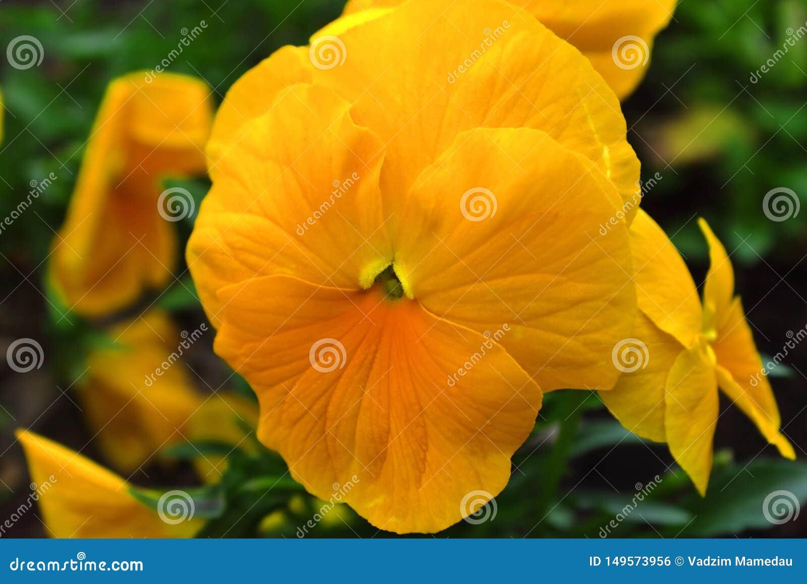 Fiołkowa żółta piękna wiosna