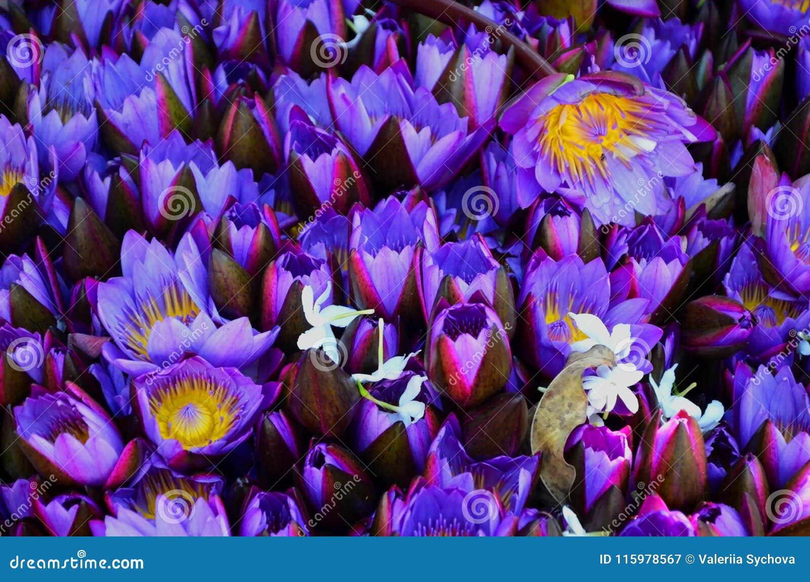 Fiołkowi lotosowi pączki otwierają i zamykają Tło