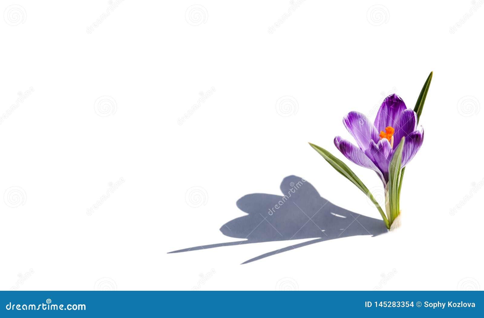 Fiołkowy wiosna kwiatu zbliżenia widok odizolowywający na białym pocztówkowym pustym miejscu