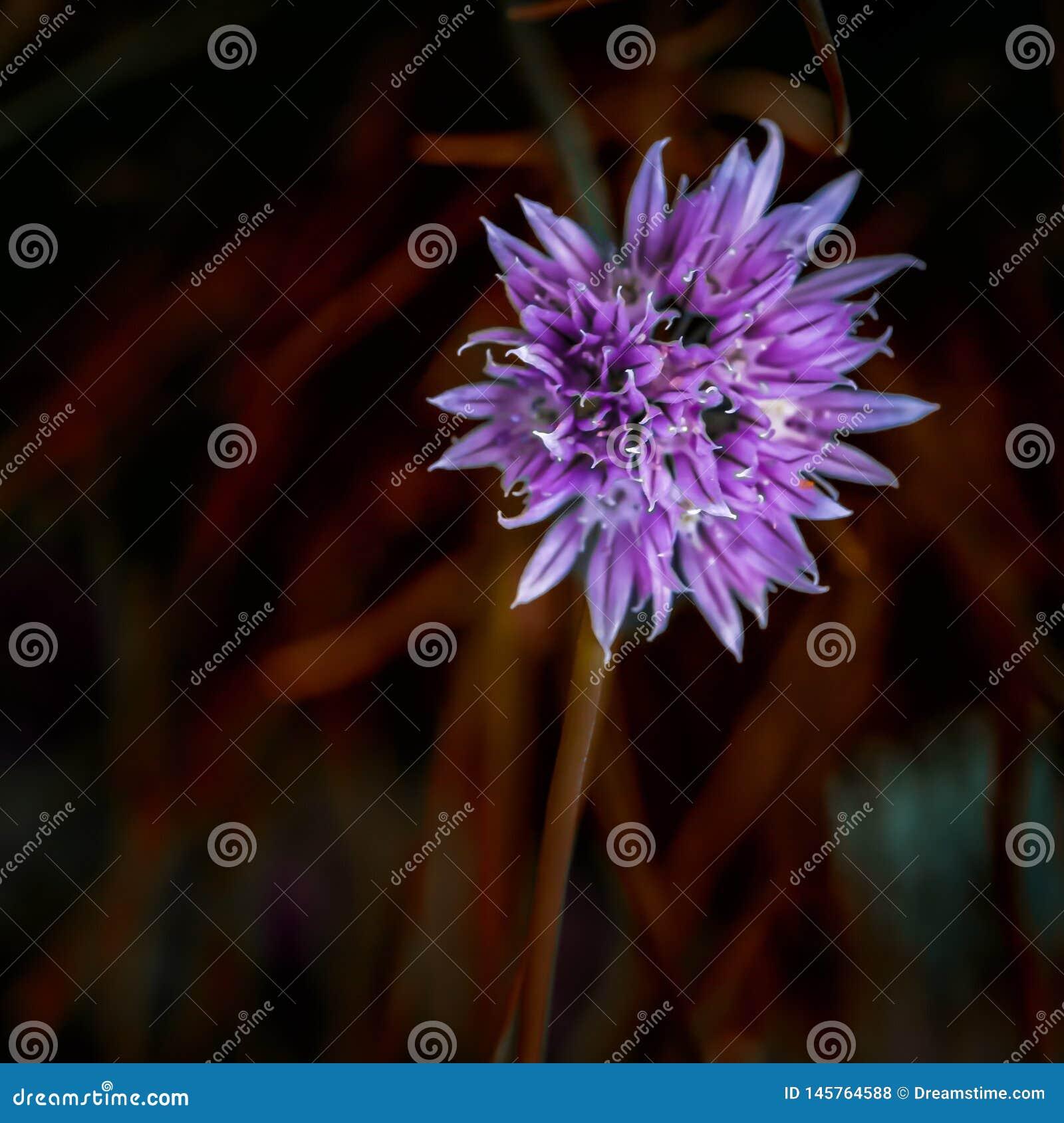 Fioletowy kwiat g?owy