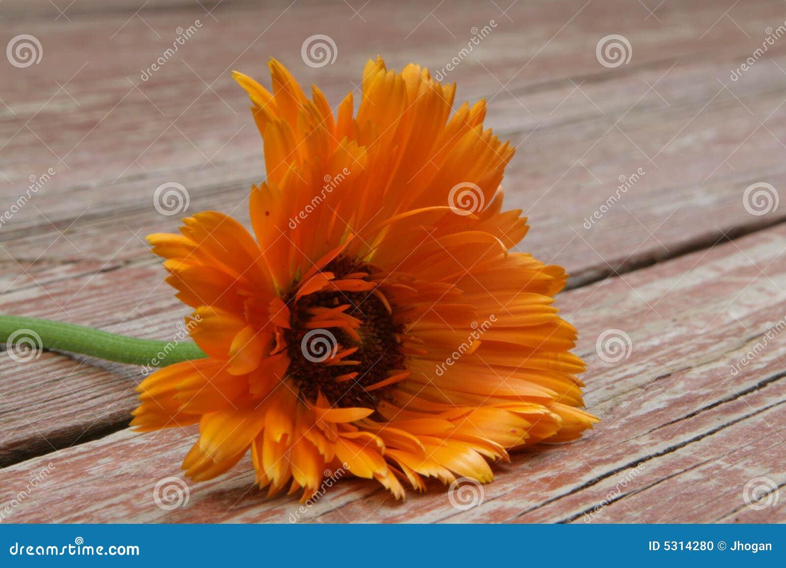 Download Fiore arancione fotografia stock. Immagine di arancione - 5314280