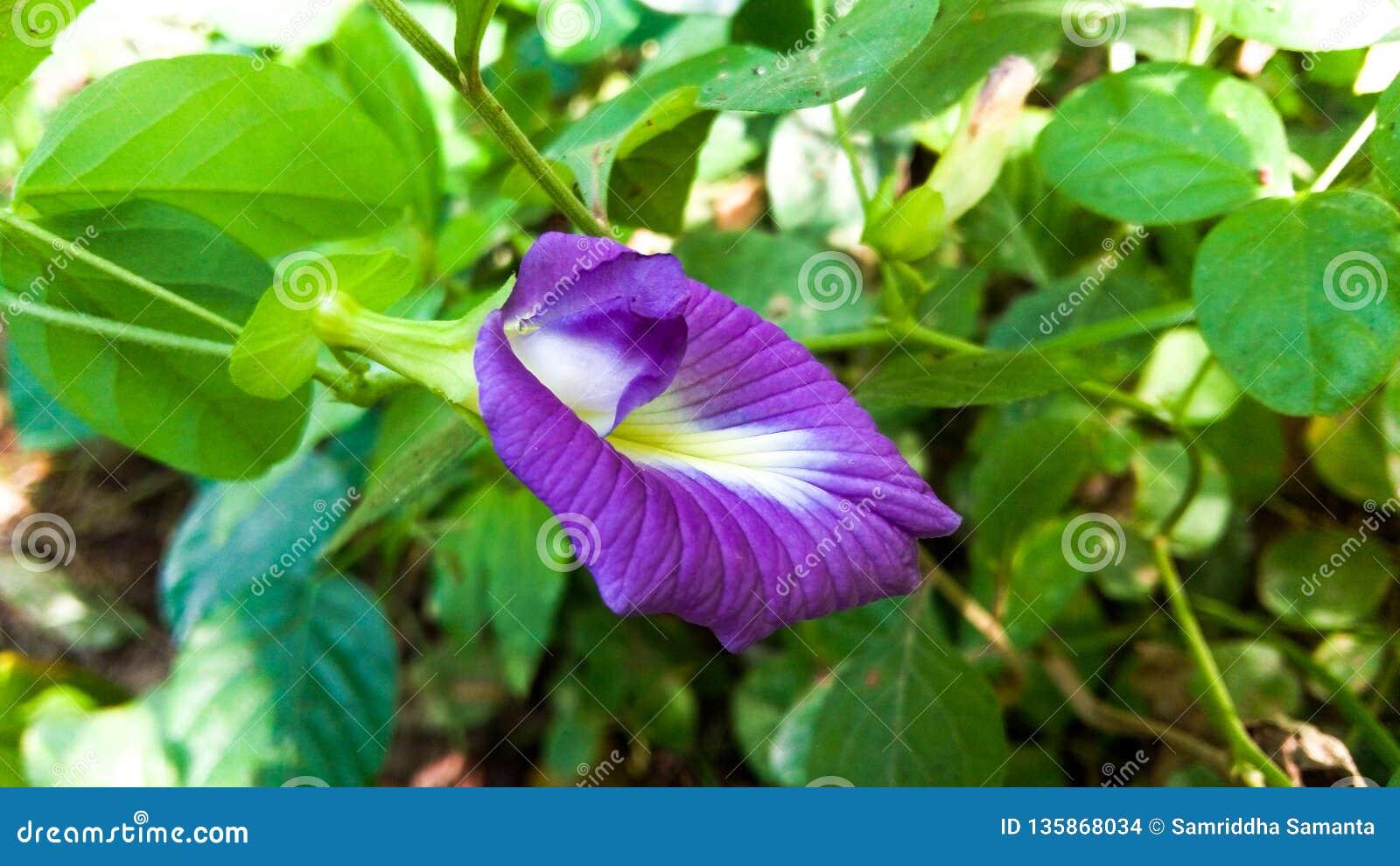 Fiore asiatico di pigeonwings