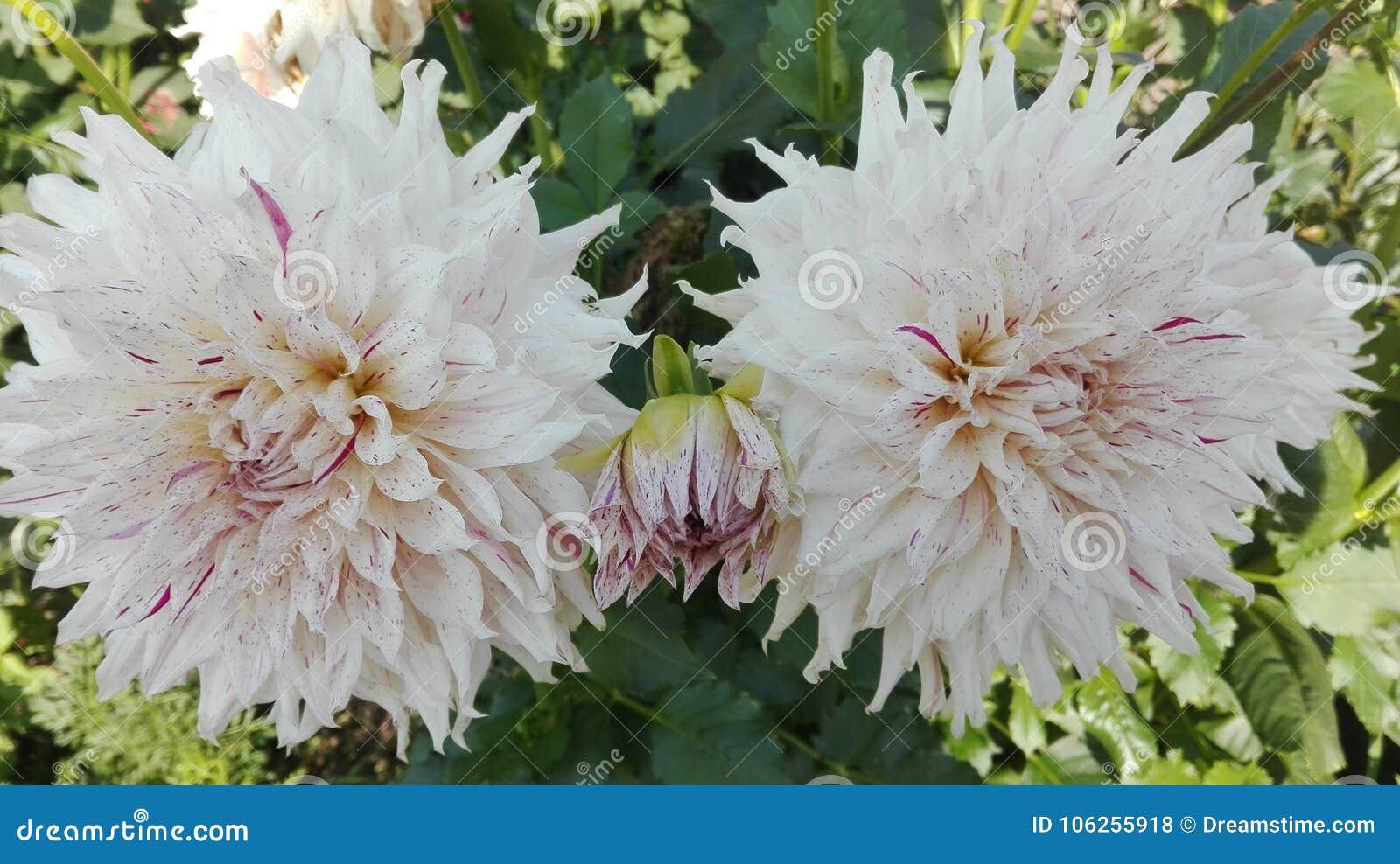 Fiore bianco del crisantemo