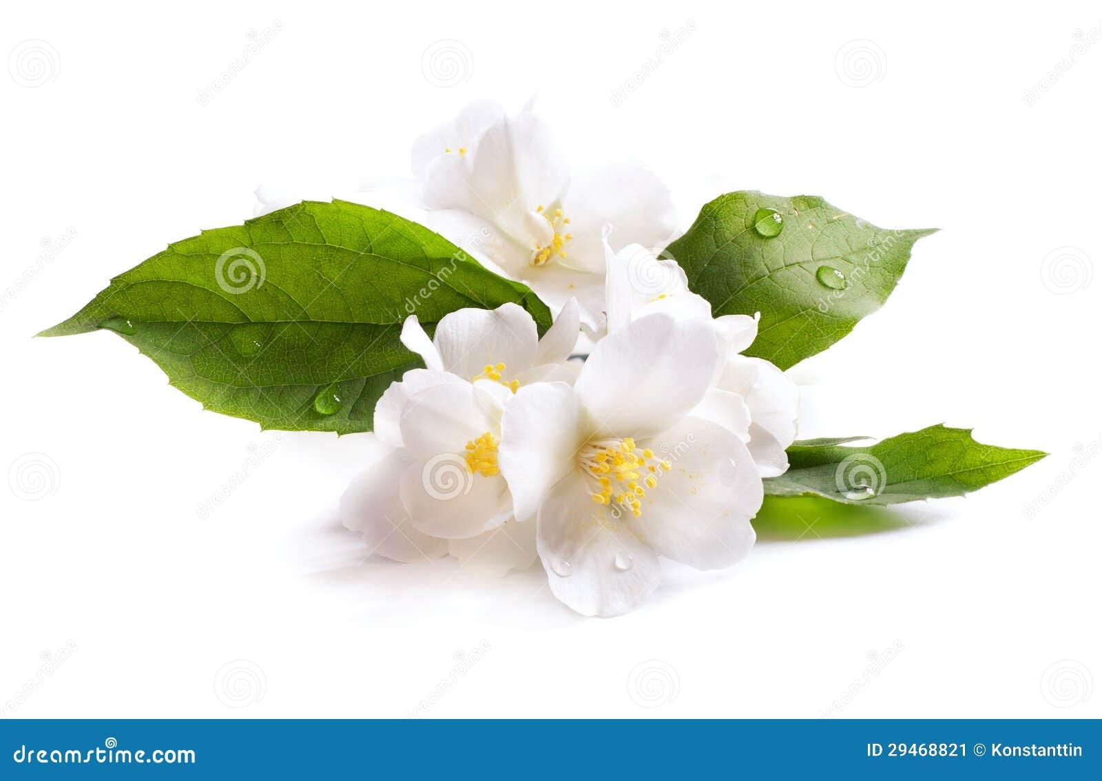 Fiore bianco del gelsomino isolato su fondo bianco