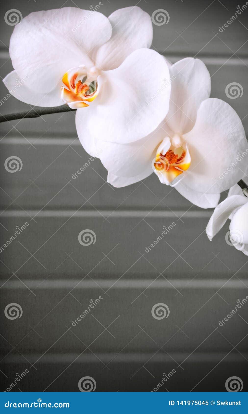 Fiori Bianchi Leggeri.Fiore Bianco Dell Orchidea Isolato Su Fondo Grigio Immagine Stock