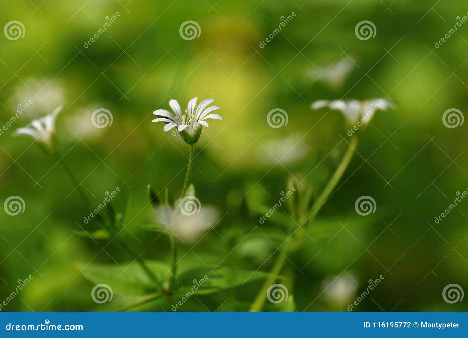 Fiore bianco della bella piccola molla Fondo vago colorato naturale con il nemorum di forestStellaria
