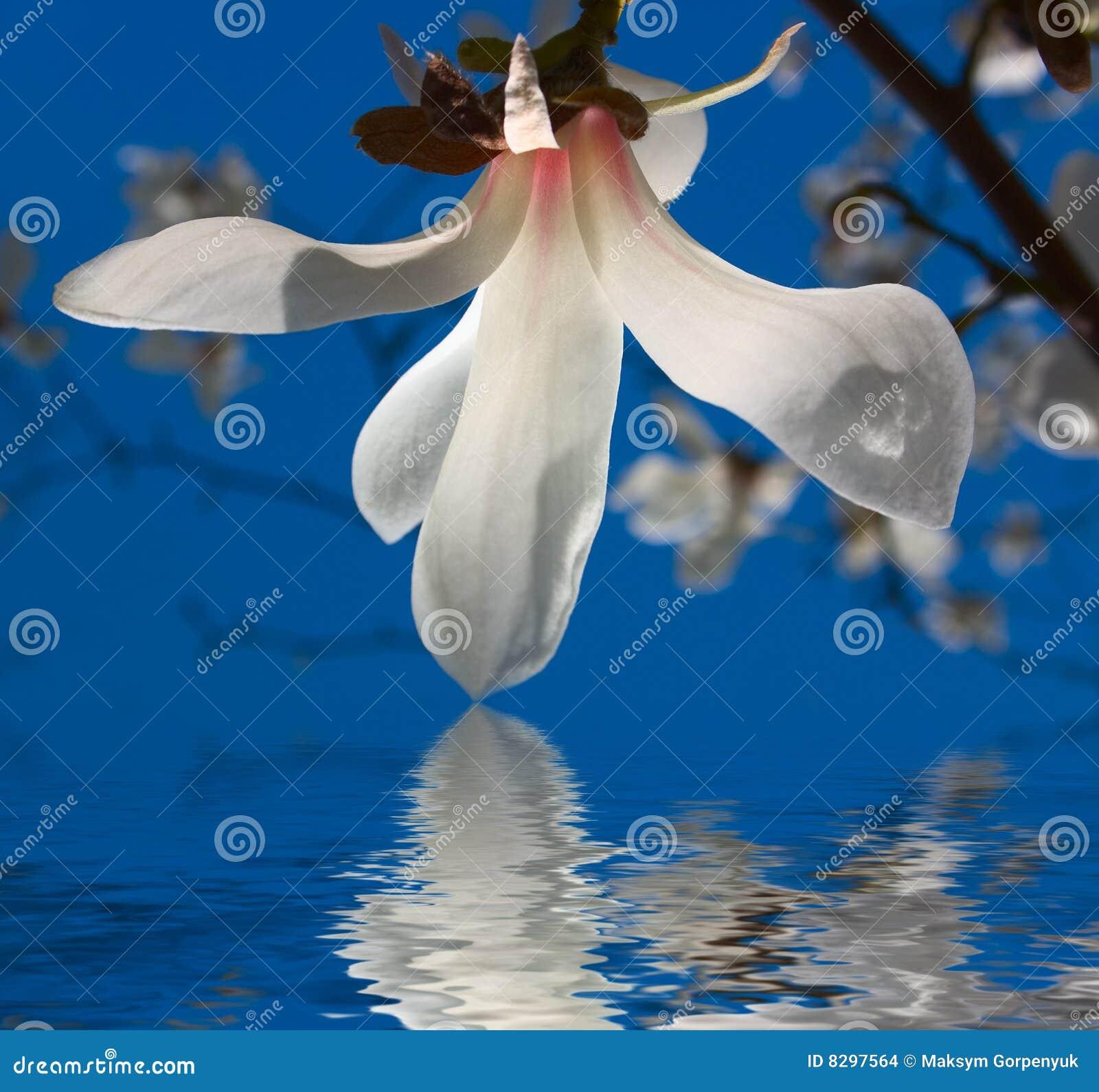 Fiore bianco della magnolia immagini stock immagine 8297564 for Magnolia pianta prezzi