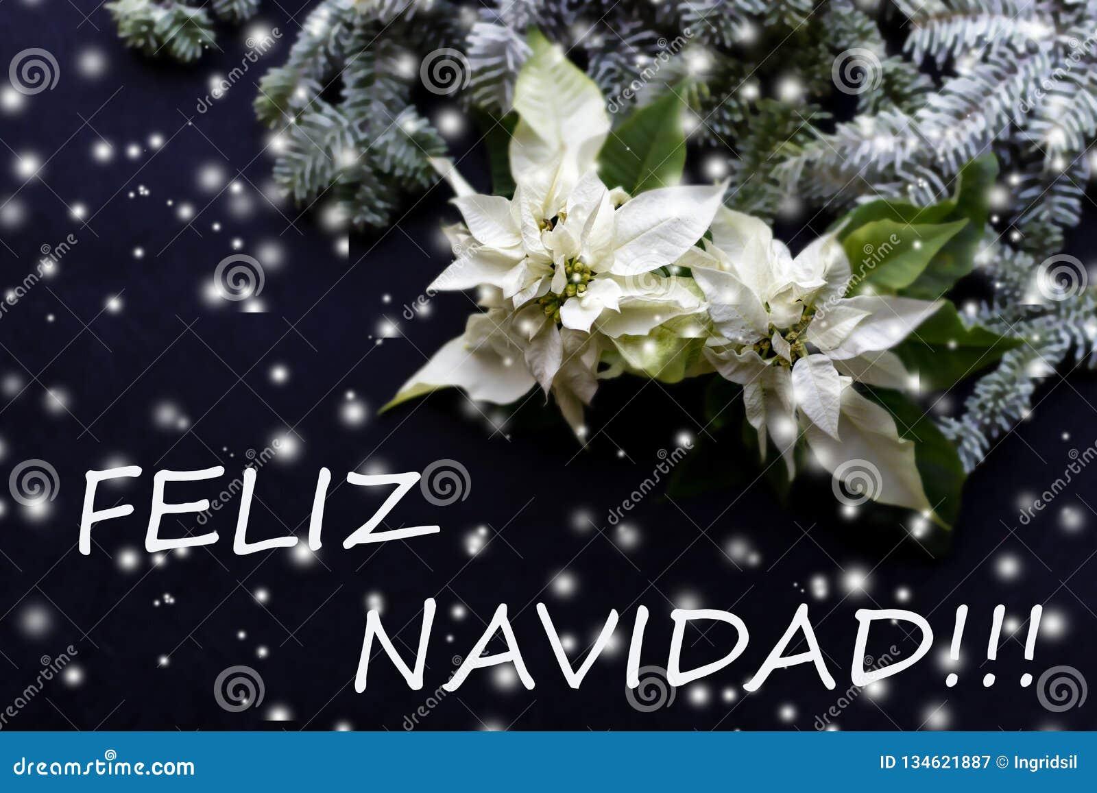 Fiore bianco della stella di Natale con l albero di abete su fondo scuro Cartolina di Natale christmastime Cartolina elegante