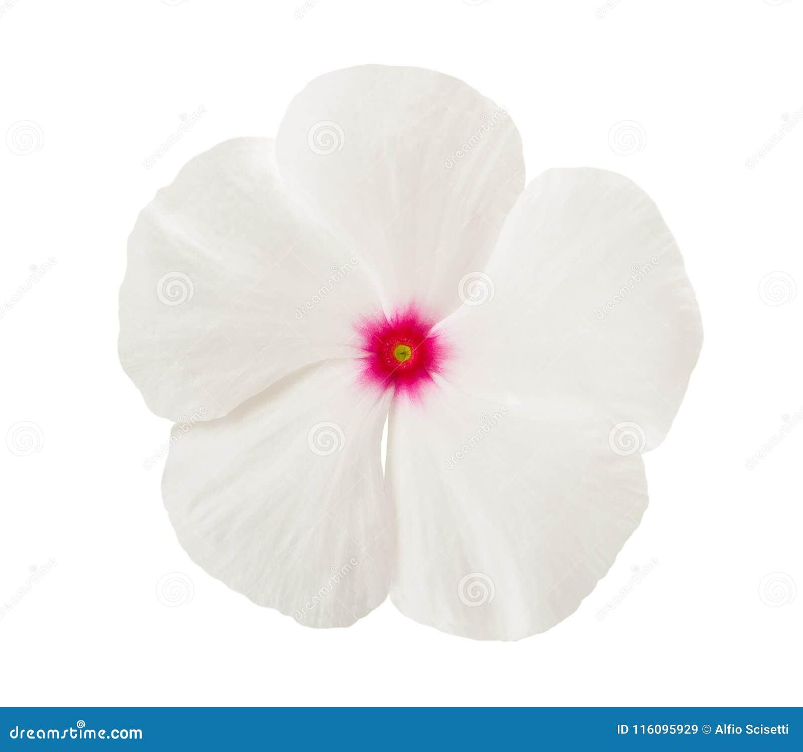 Fiore bianco della vinca