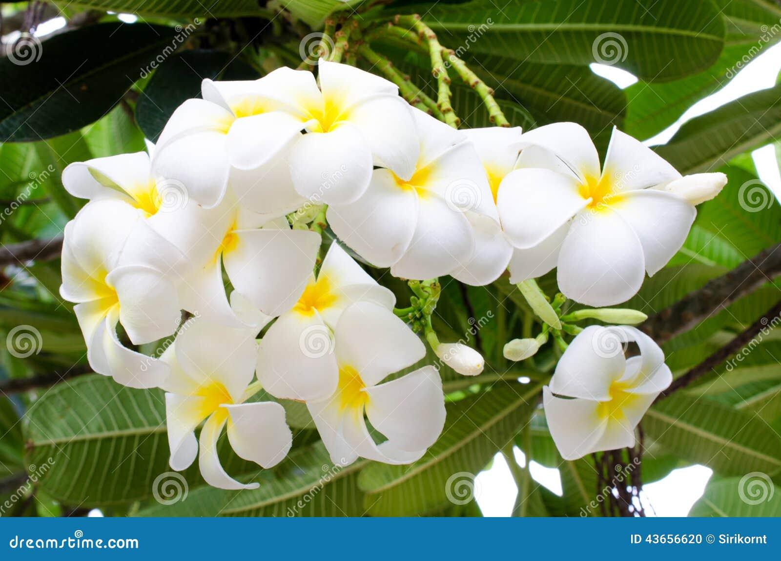fiore bianco e giallo nome