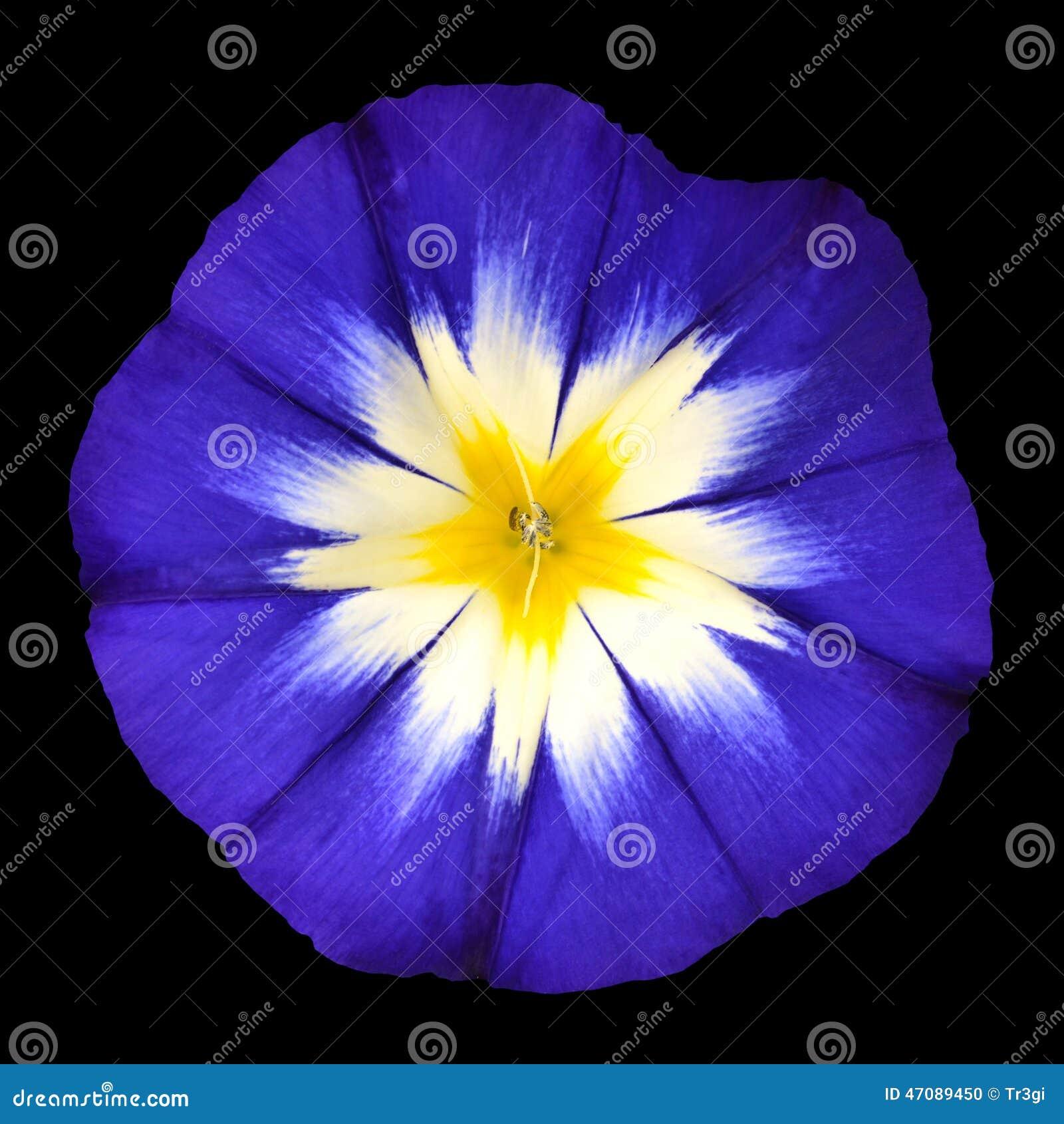 Fiore Blu Con Il Centro Giallo Bianco Della Stella Isolato