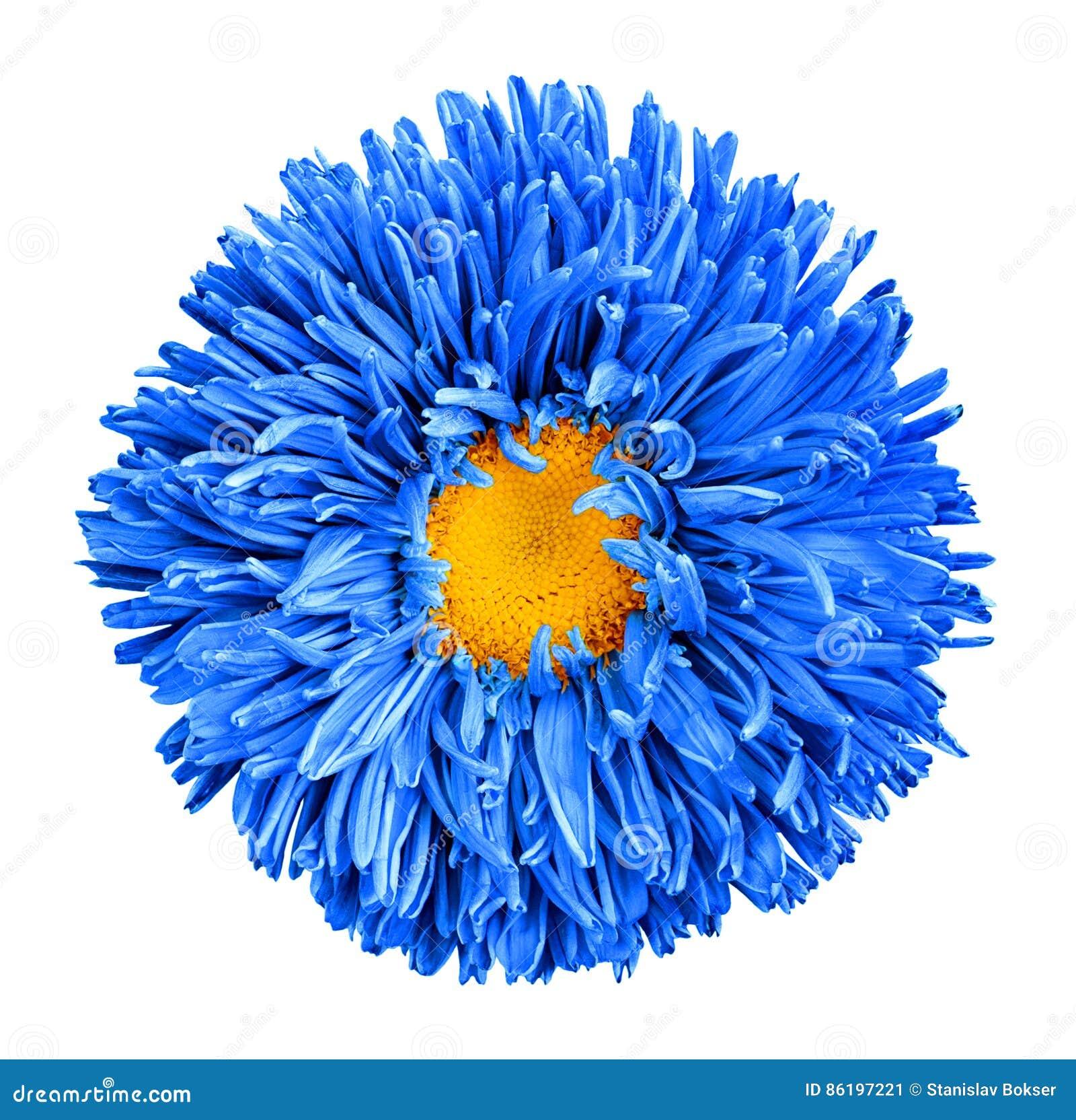 Fiore blu dell aster con macrofotografia gialla del cuore isolato